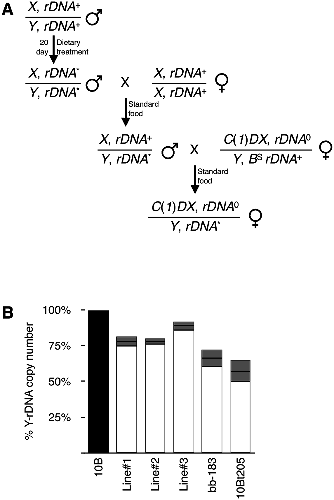 rDNA deletions persist through multiple generations.