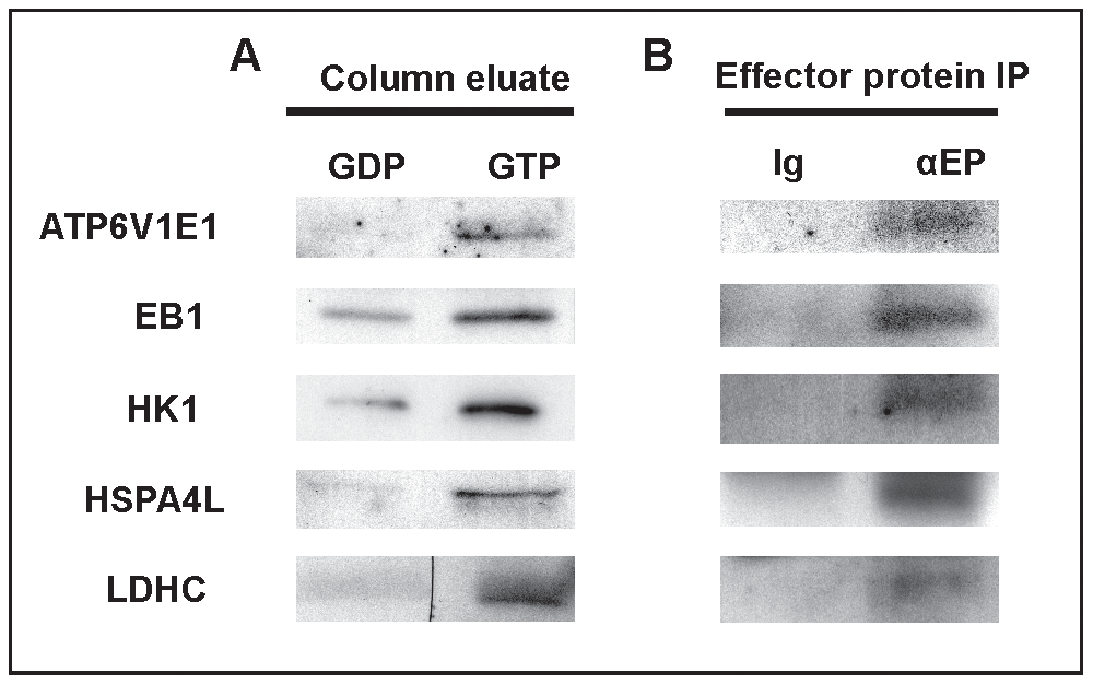 The identification of RABL2 effector proteins.