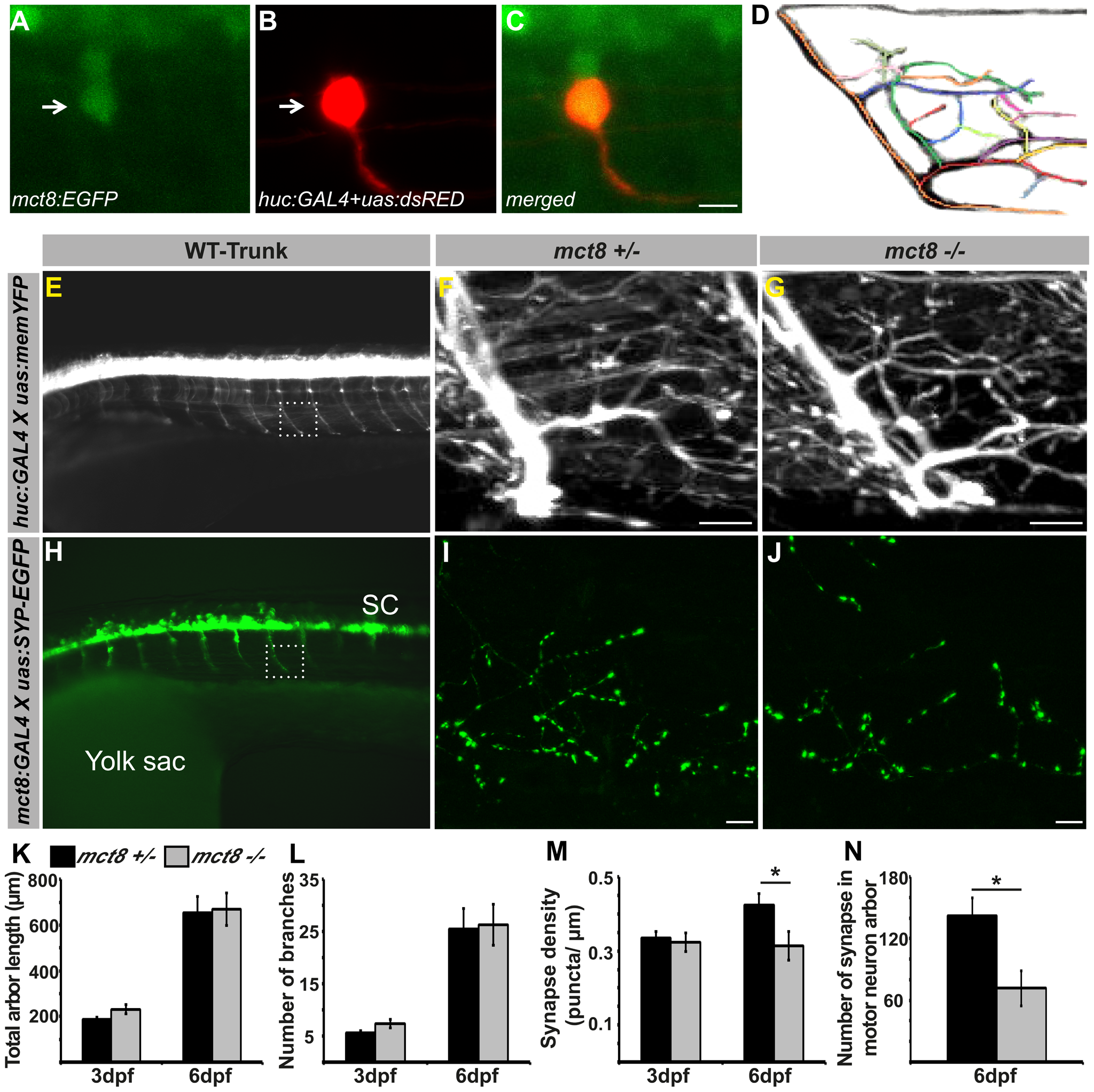 Loss of MCT8 reduces synaptic density in axonal arbors of the motor neuron.