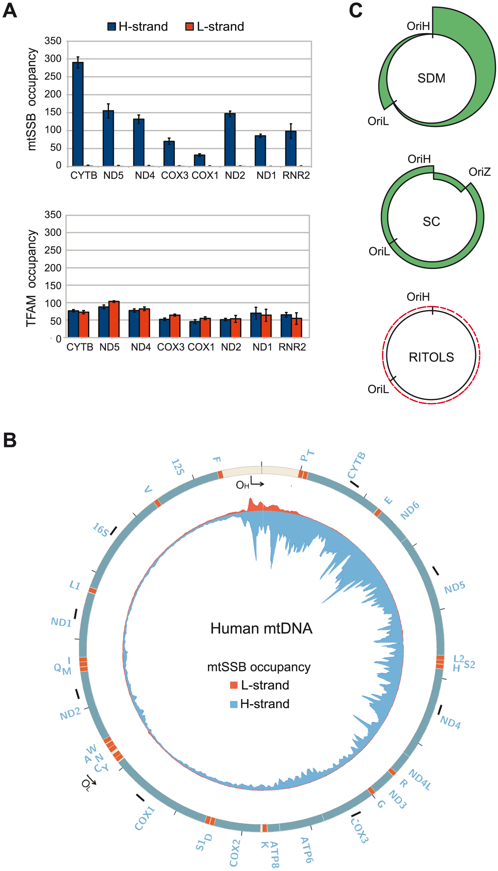 mtSSB <i>in vivo</i> occupancy reflects strand-displacement mtDNA replication.