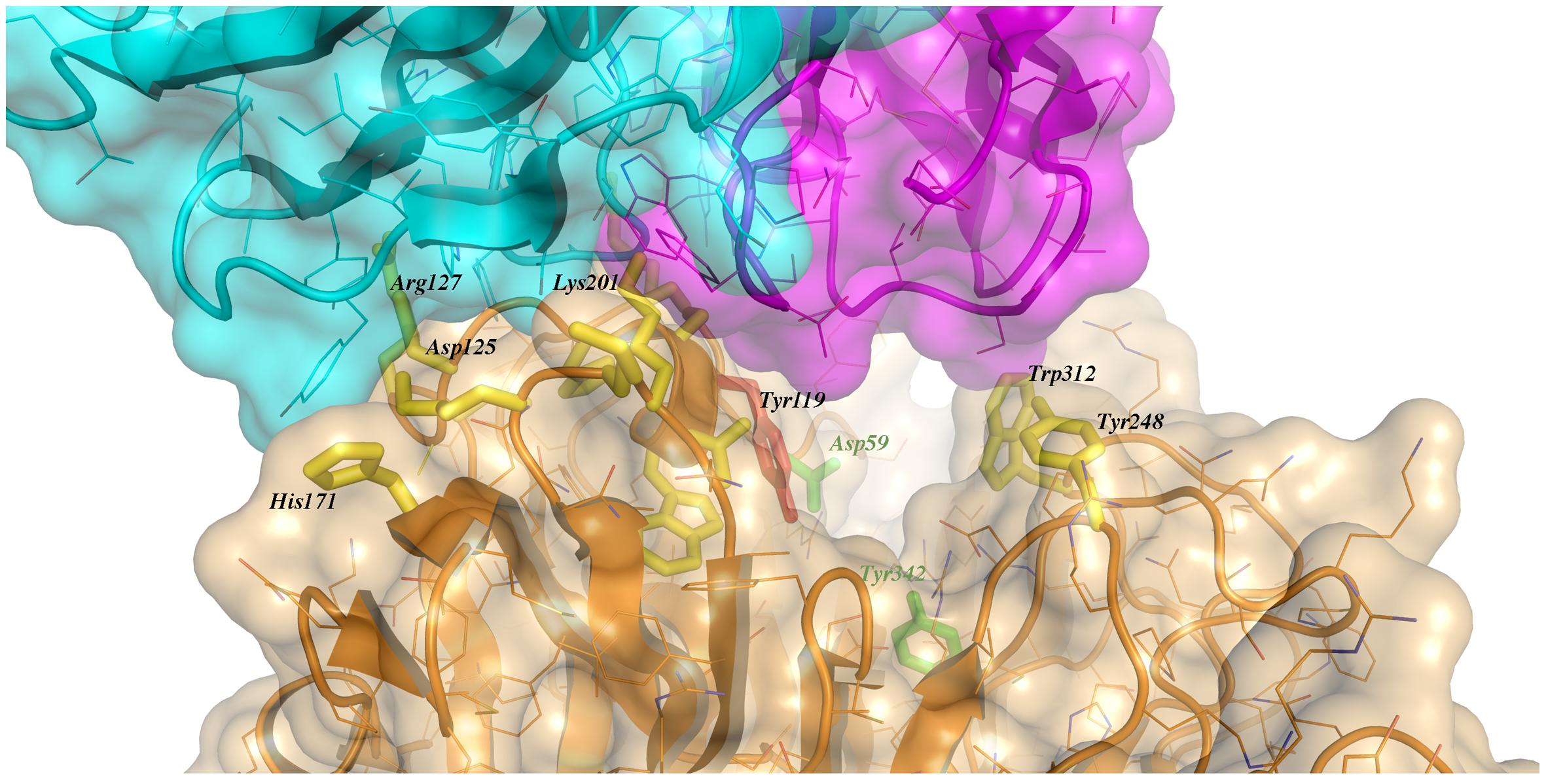 Close-up of the TS/antibody interface.