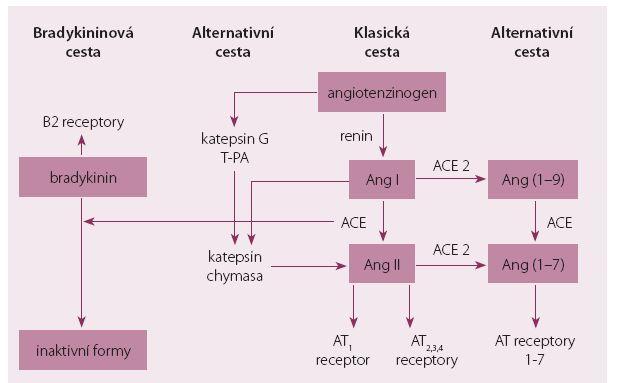 Schéma RAAS systému – klasická, alternativní cesta a bradykininový systém.