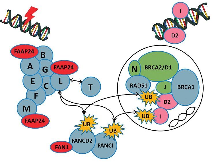 Fanconiho anémie jaderný komplex a mechanismus jeho vlivu na systém reparace DNA.