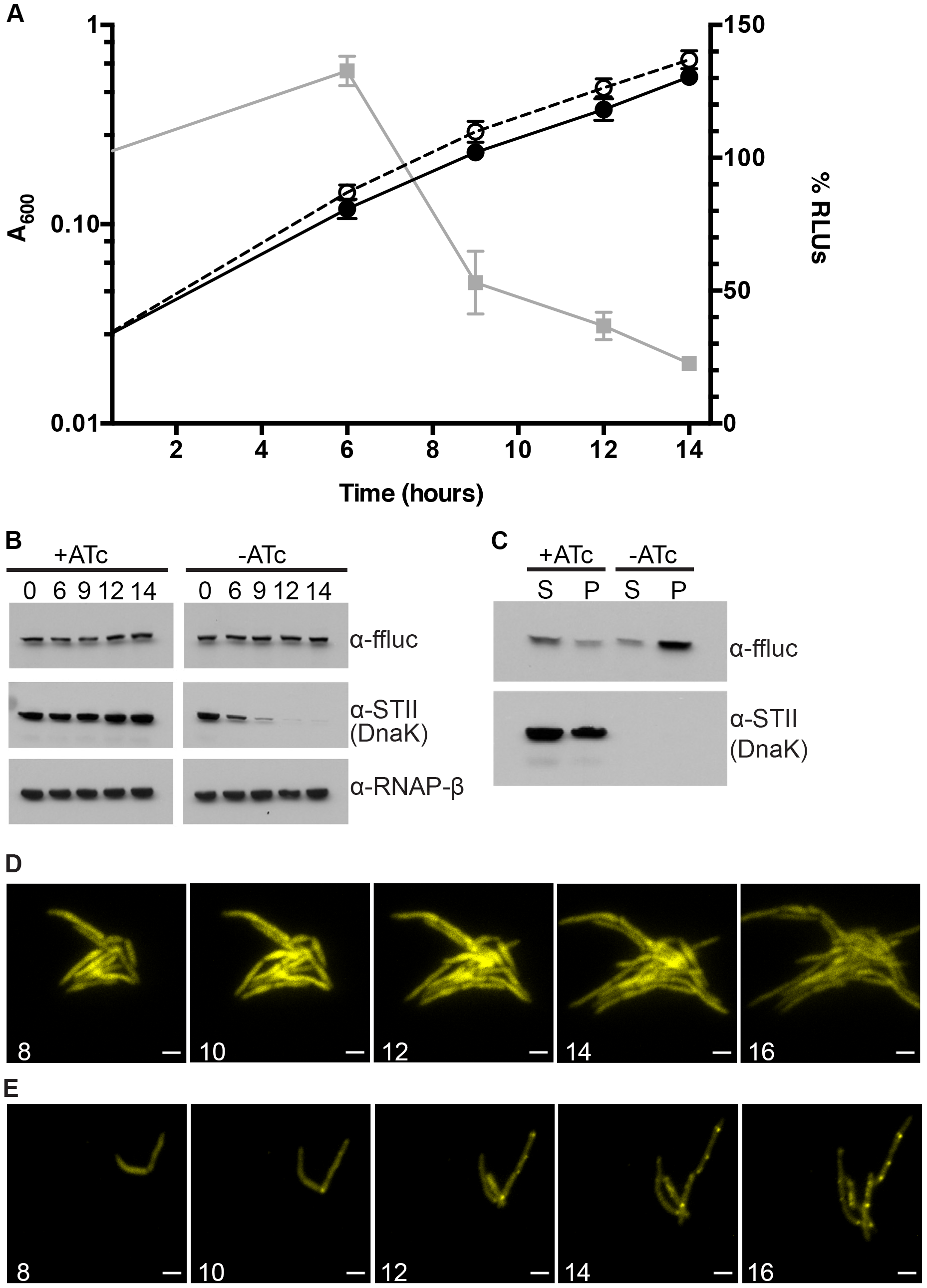 Ms DnaK is required for nascent Firefly luciferase folding.