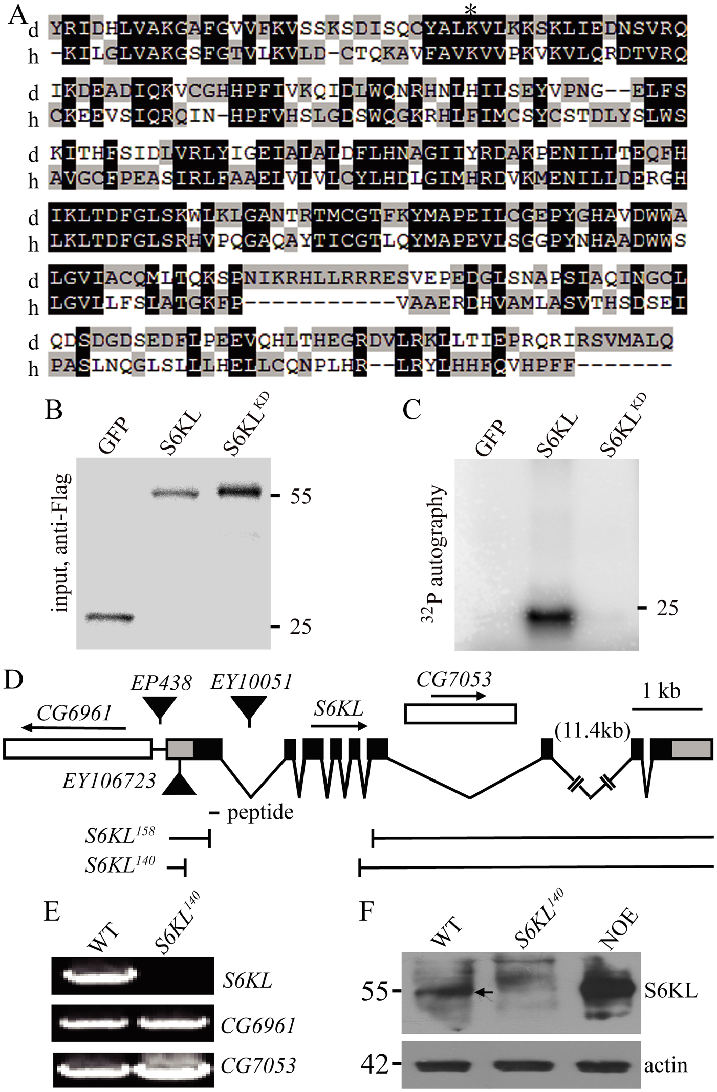 Kinase domain alignment of S6KL and its human homolog and molecular characterization of <i>S6KL</i> mutants.