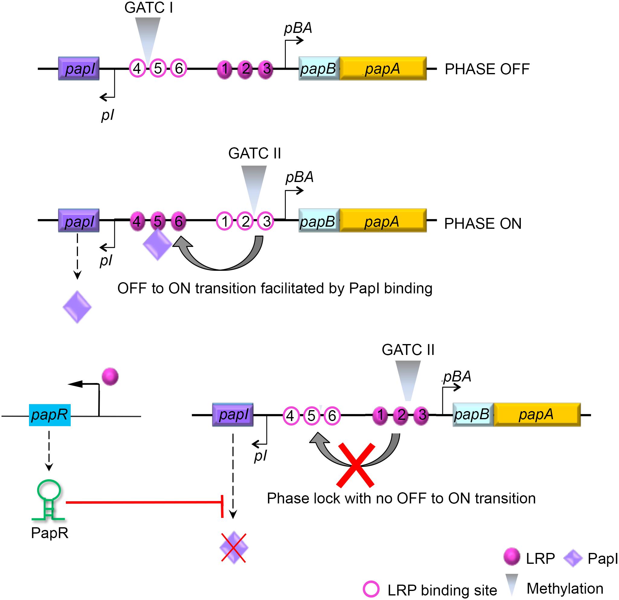 Model illustrating PapR-mediated modulation of P-fimbriae phase variation.