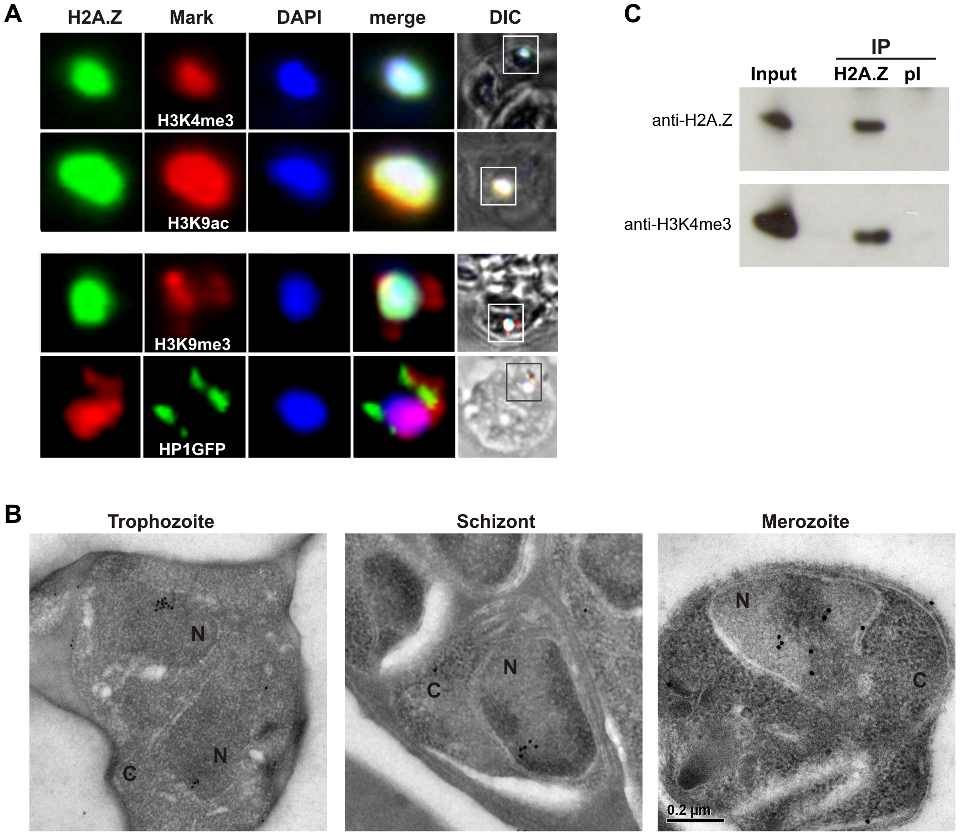PfH2A.Z is present in the euchromatin compartment.