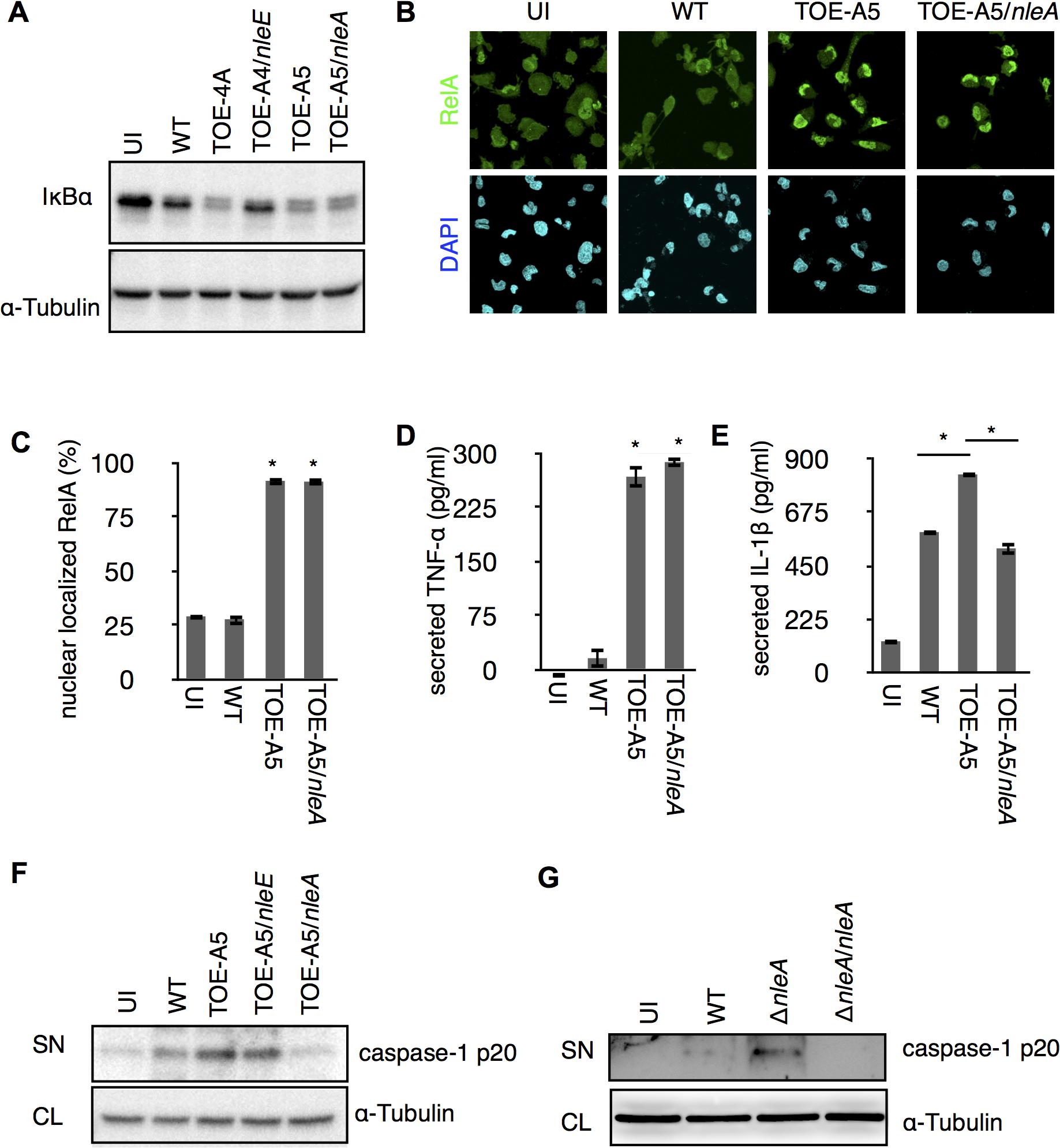 NleA suppresses caspase-1 activation.