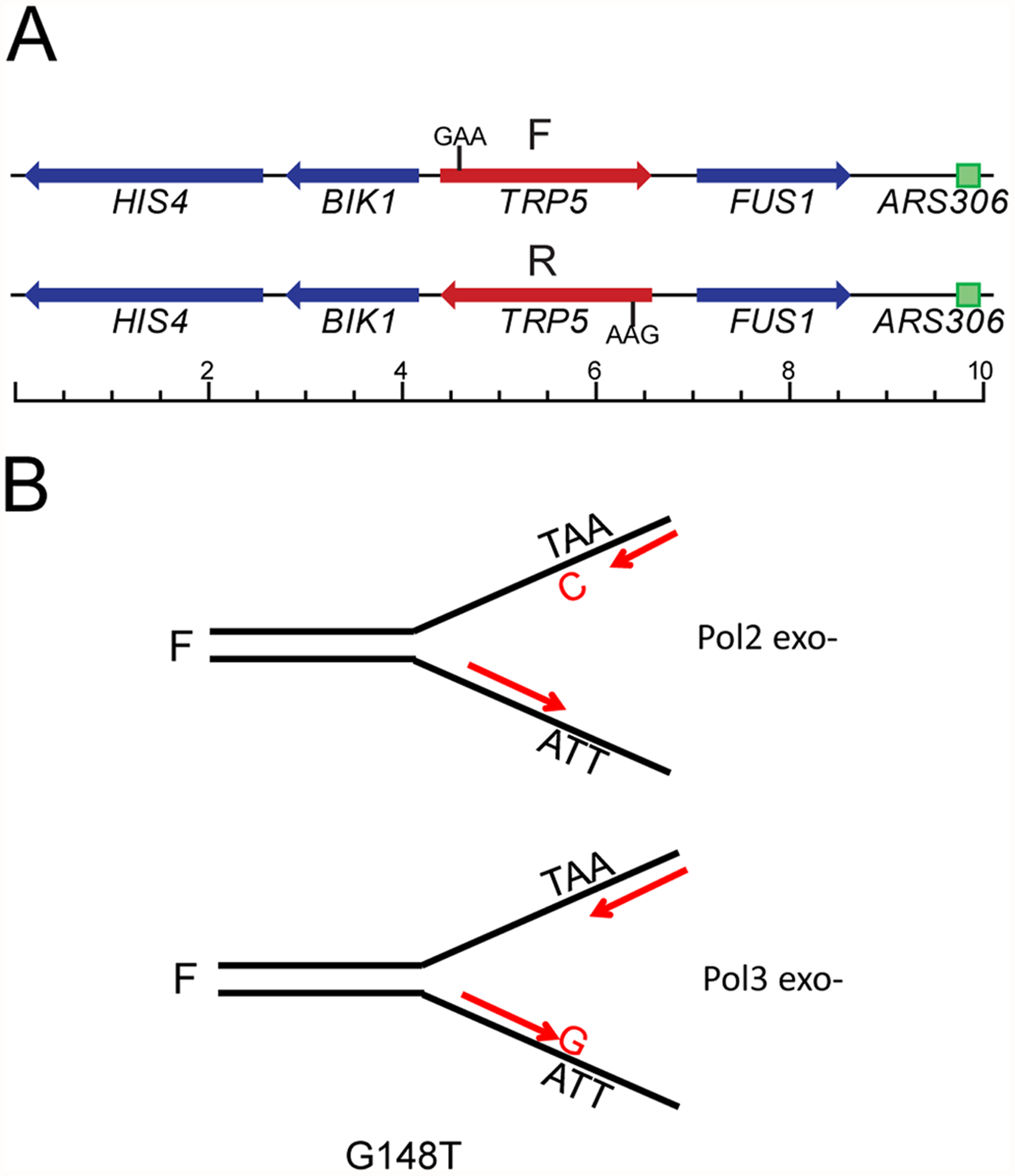 The <i>trp5</i> reversion assay in proofreading defective strains.