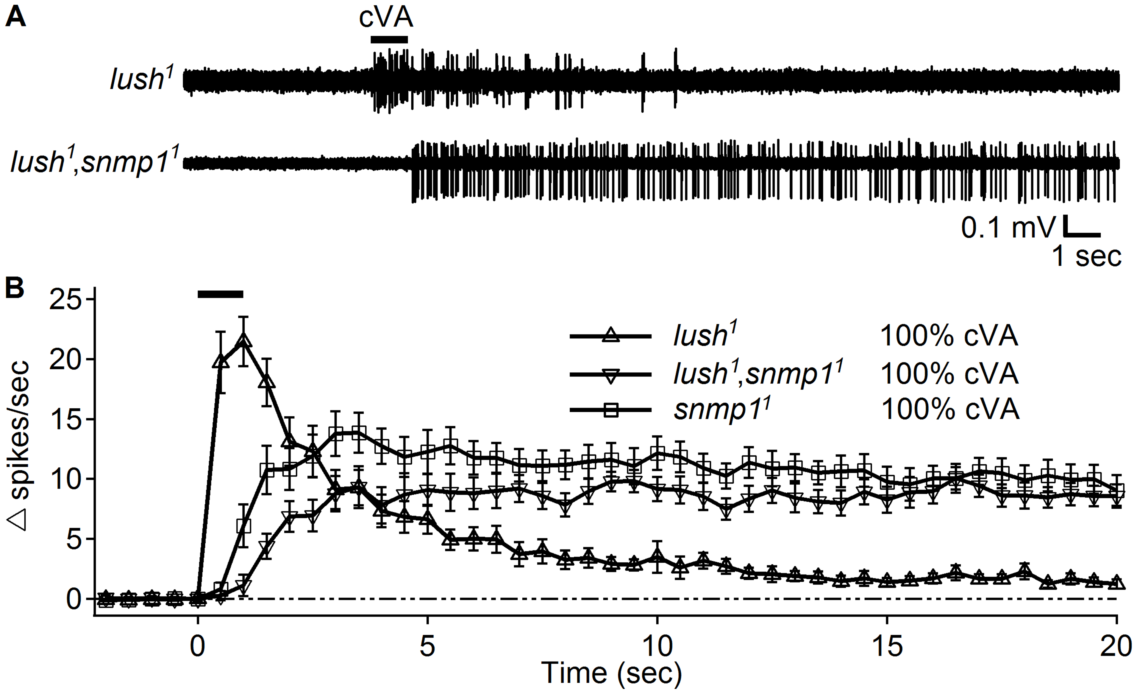 Close application of 100% cVA elicited responses in the <i>lush<sup>1</sup></i>,<i>snmp1<sup>1</sup></i> double mutants.