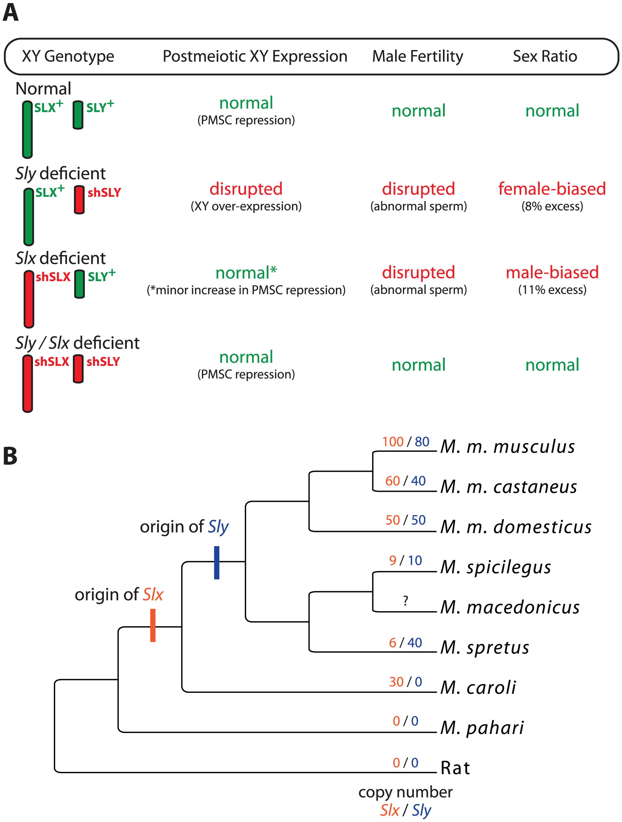 The interaction and evolution of <i>Sly</i> and <i>Slx</i>/<i>Slxl1</i>.