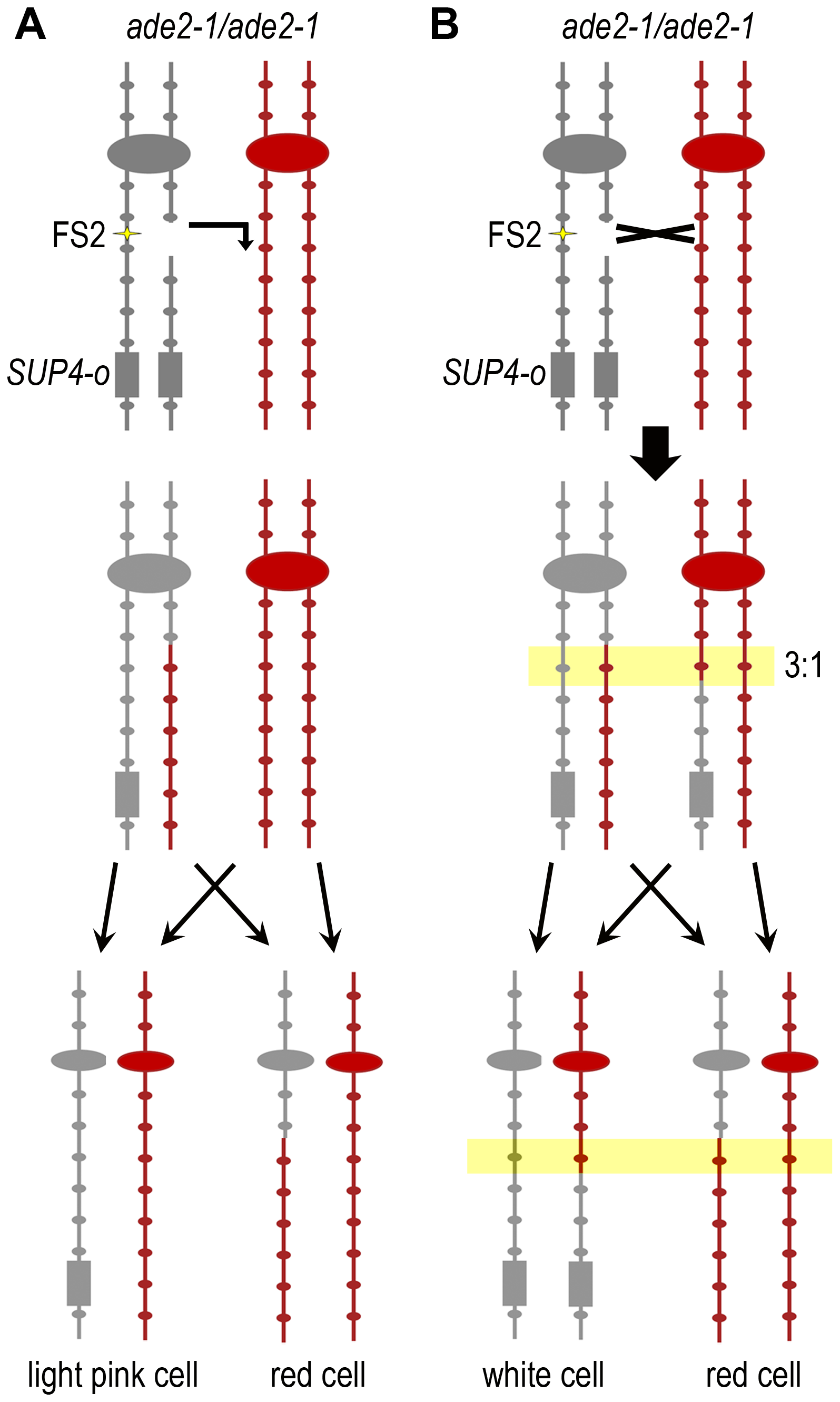 Use of SNPs to map the location of mitotic recombination events.
