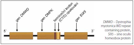 Gen <i>DMPK.</i> Fig. 1. <i>DMPK</i> gene.