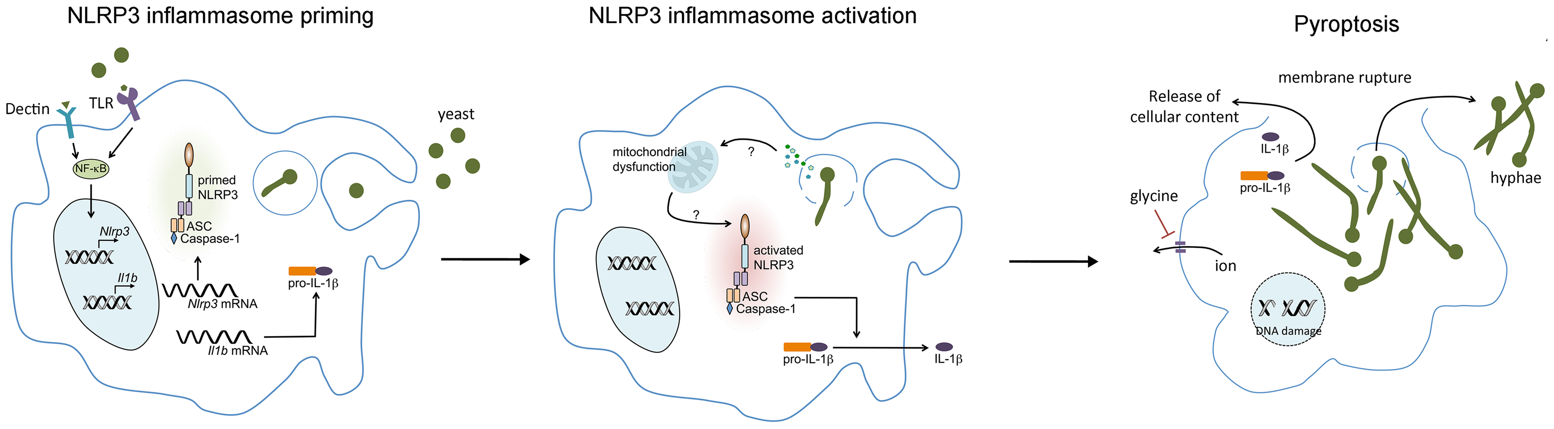 <i>C. albicans</i>–mediated NLRP3 inflammasome activation.