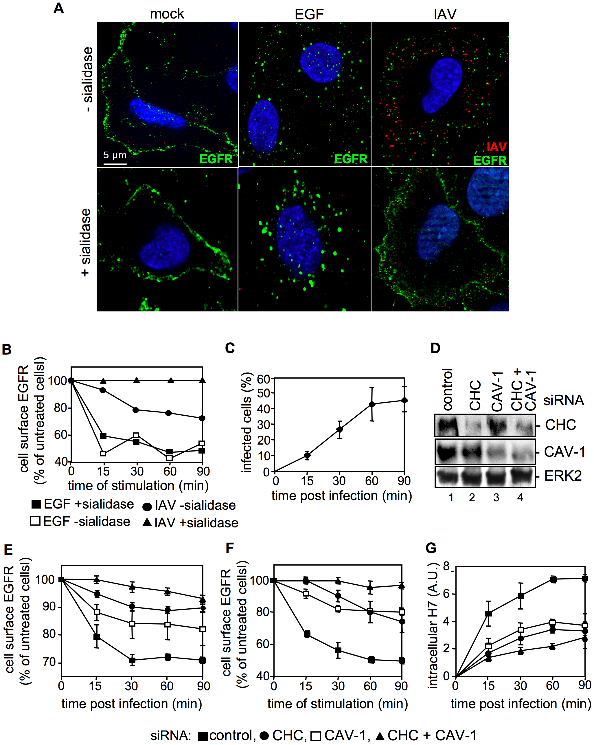 IAV attachment induces EGFR endocytosis.