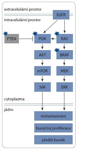 Schéma 1. Struktura EGFR signální dráhy.