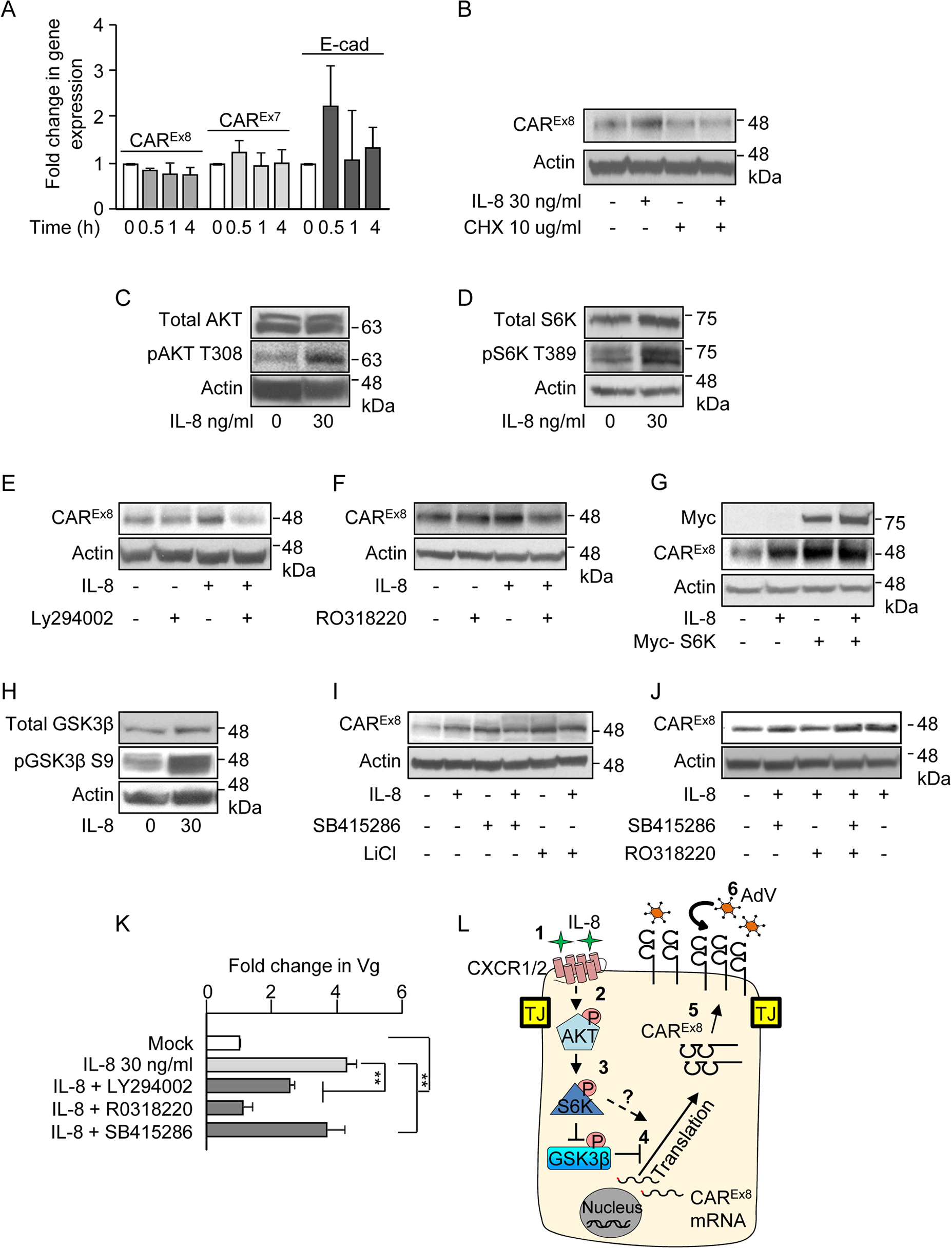 IL-8 activates AKT/S6K and inactivates GSK3β to increase CAR<sup>Ex8</sup> protein synthesis and AdV entry.