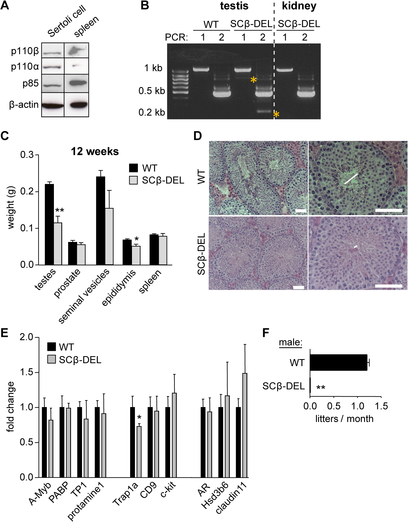 Tissue-specific inactivation of p110β in SCs causes male sterility.