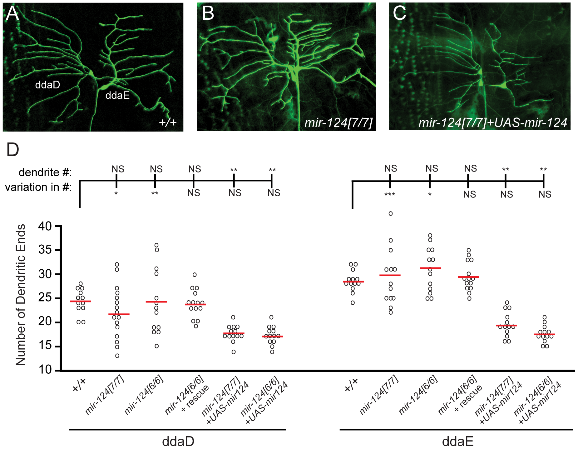 <i>mir-124</i> suppresses variation in dendrite numbers on sensory neurons.