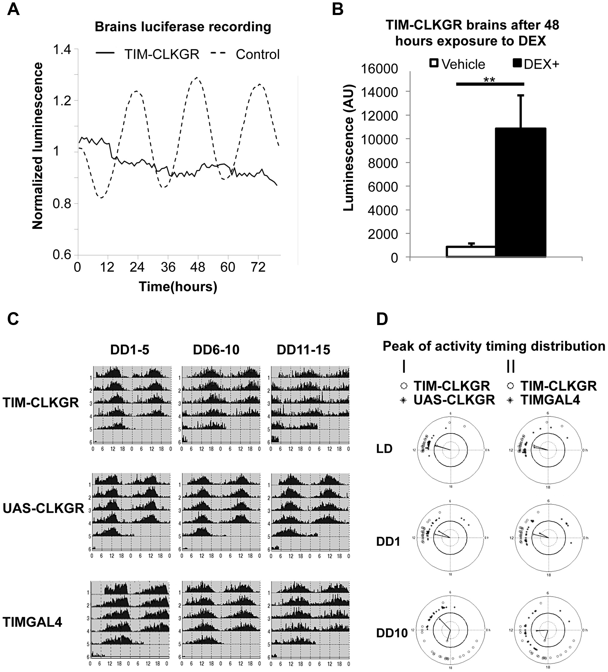 TIM-CLKGR flies display quasi-normal locomotor activity rhythms despite impaired transcriptional oscillations in the brain.