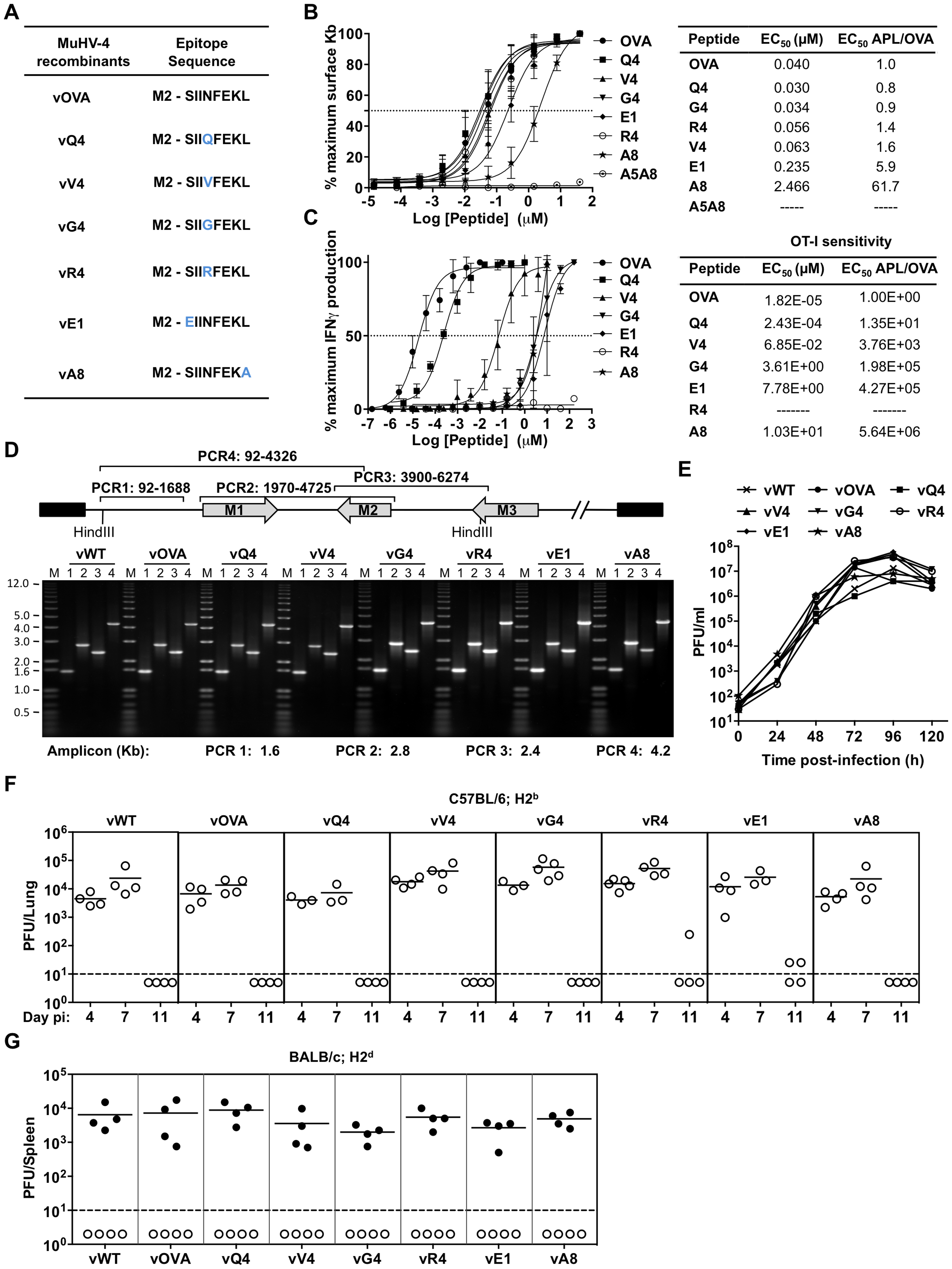 Characterization of APLs by MHC class I binding and TcR functional avidity, and generation of MuHV-4 recombinants expressing OVA or APLs linked to M2.