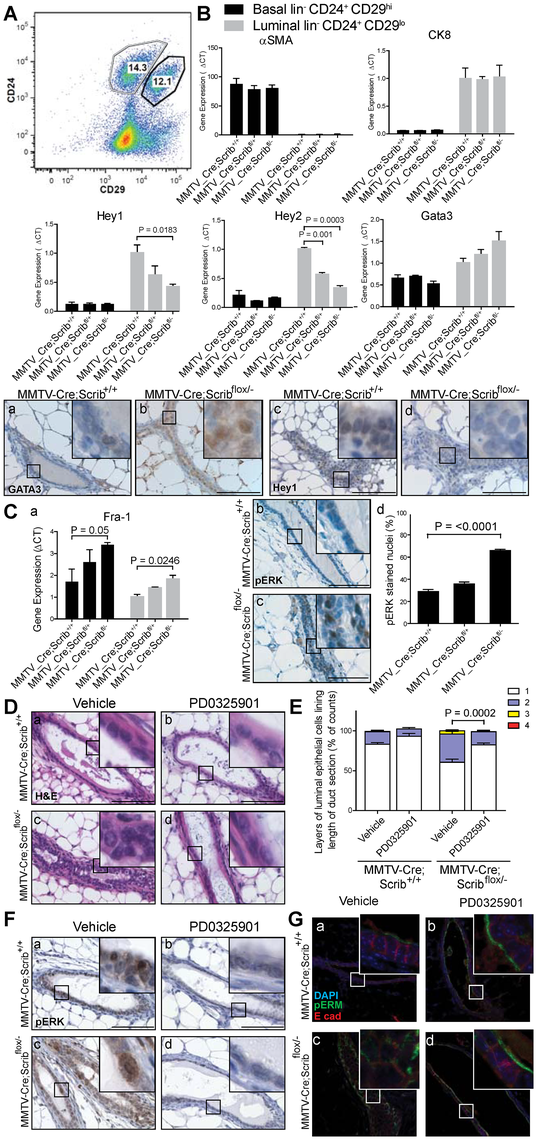 Scribble loss disrupts Notch signalling and drives MAPK/Fra1 activation to allow inappropriate luminal expansion.