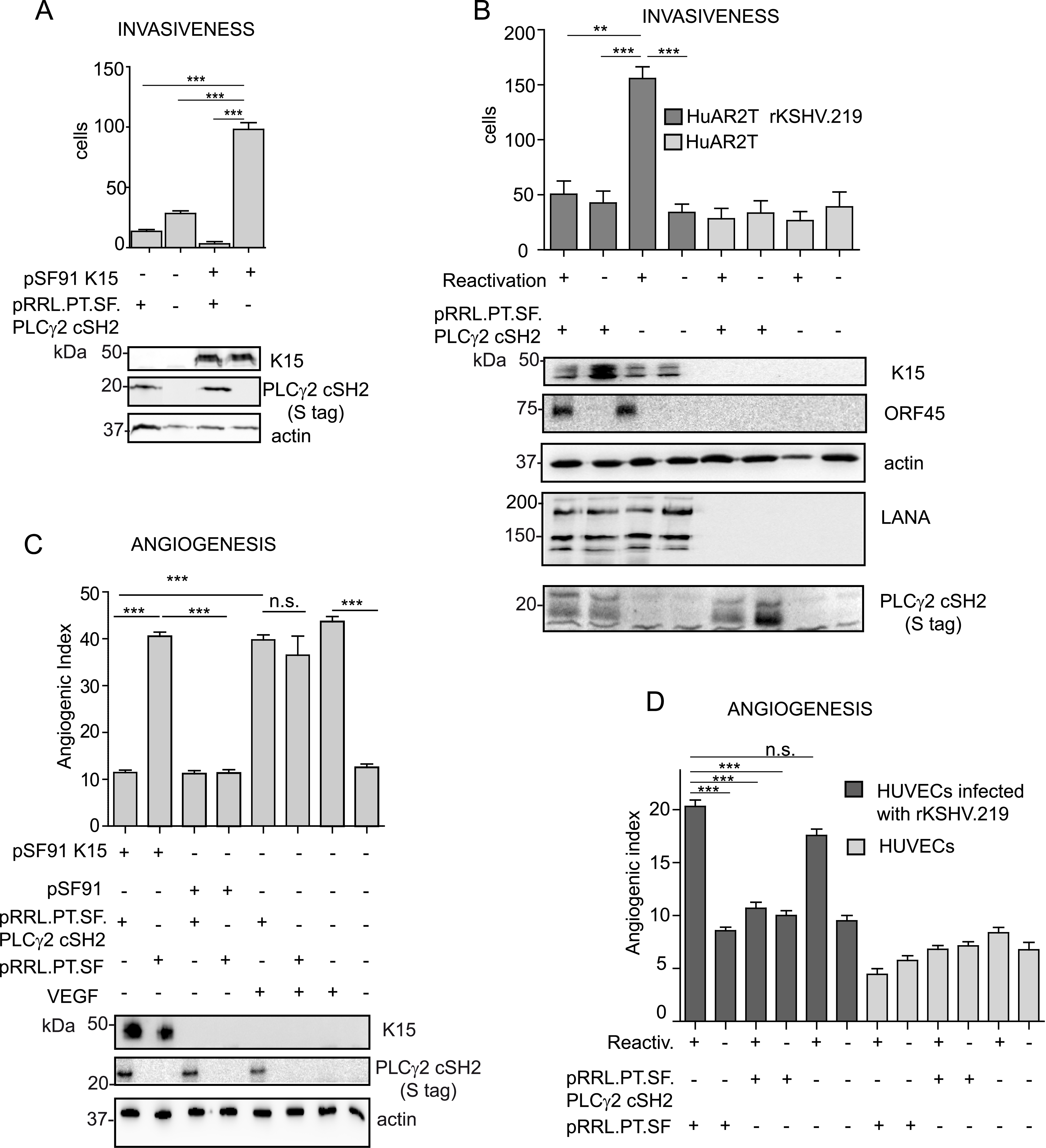 The isolated PLCγ2 cSH2 domain impairs the increased invasiveness and angiogenesis of KSHV infected endothelial cells.