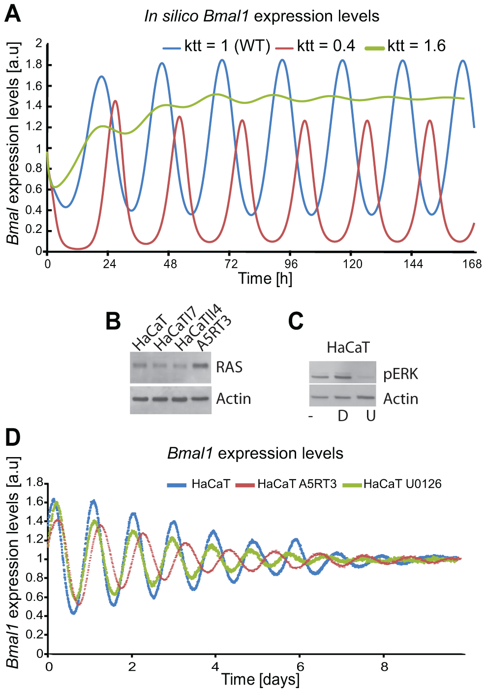 Ras transformation affects the circadian clock via MAPK signalling.