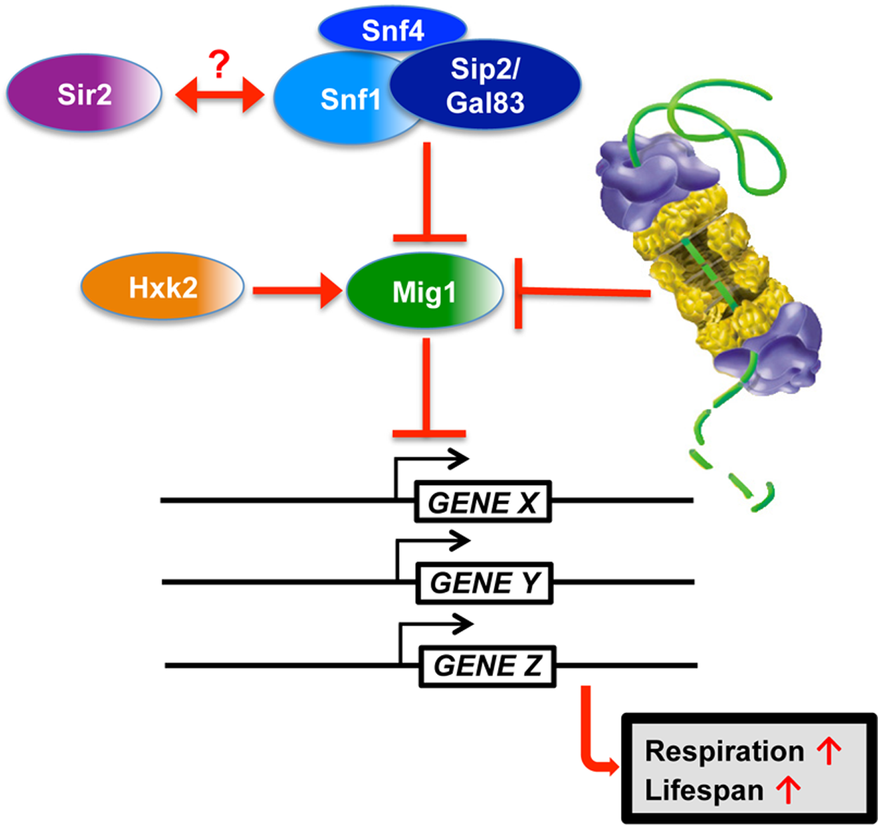 Model for Mig1 regulation by Snf1, Hxk2, the proteasome and Sir2.