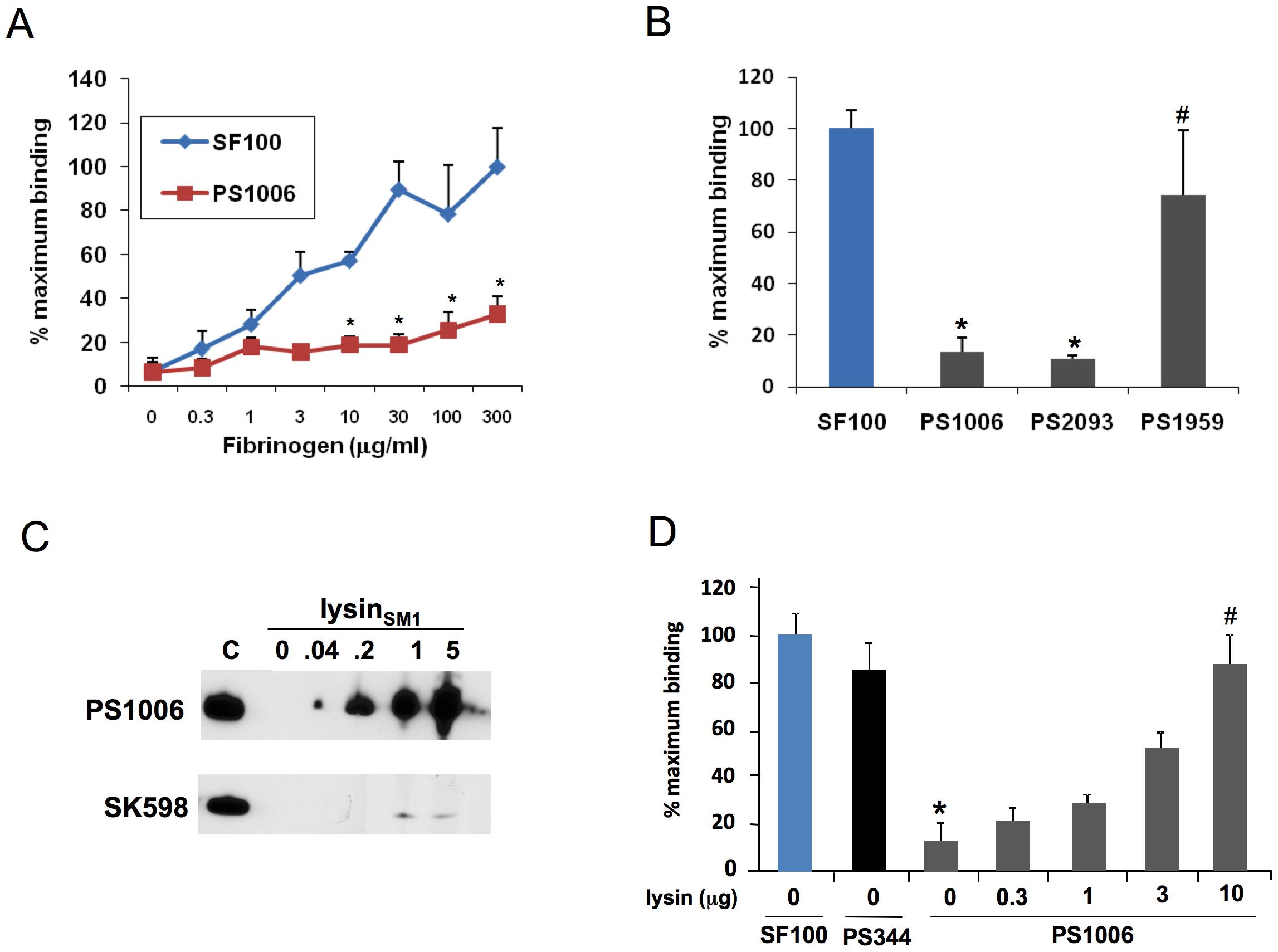 Lysin mediates binding of bacteria to fibrinogen.