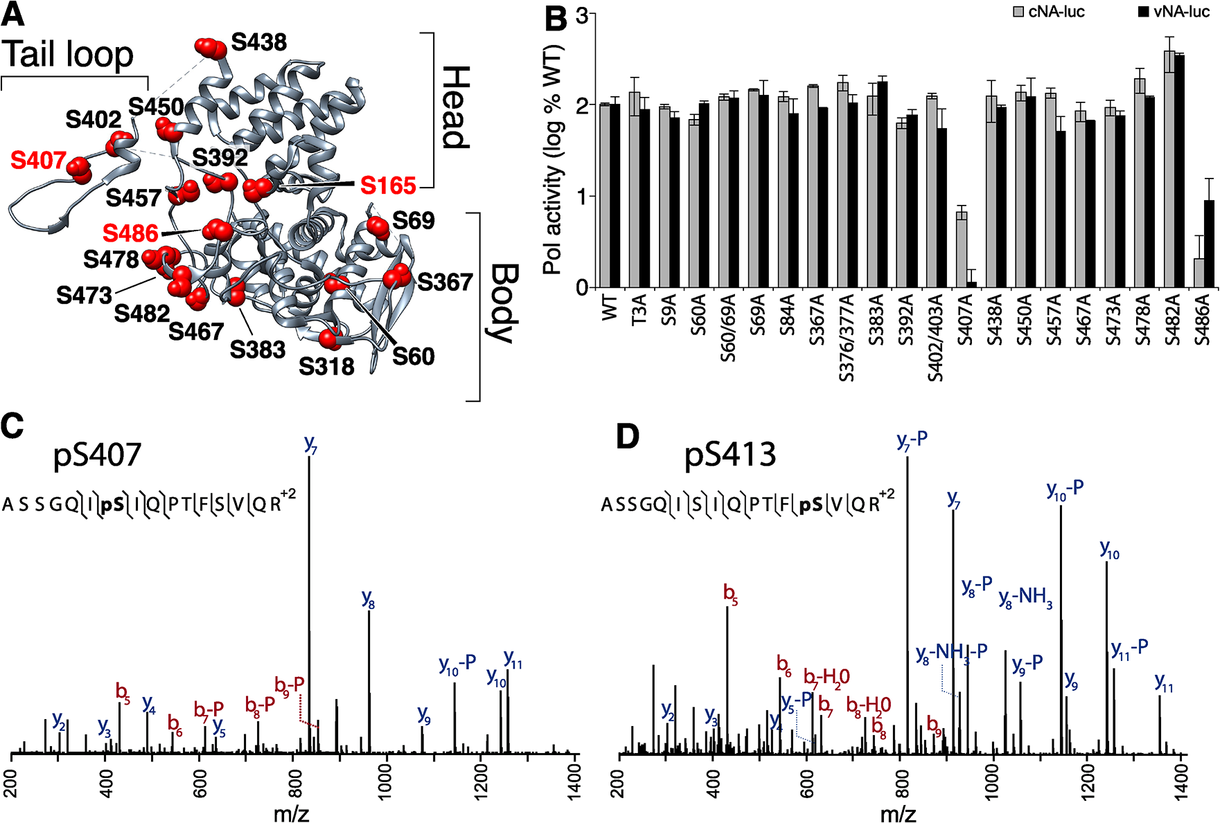 Identification of serine residues and a phosphorylation site in NP that are critical for polymerase activity.