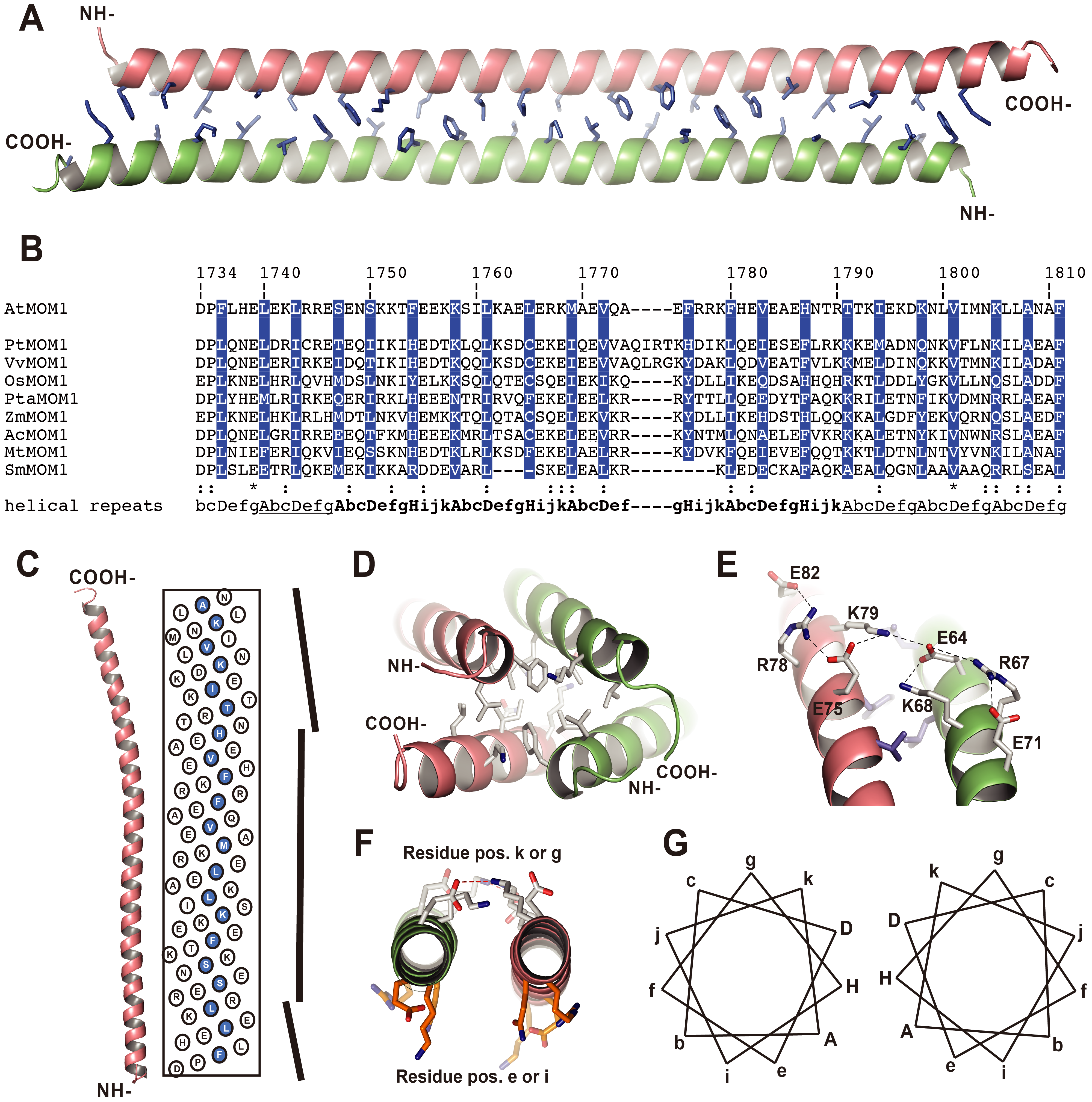 Crystal structure of the CMM2 protein fragment.