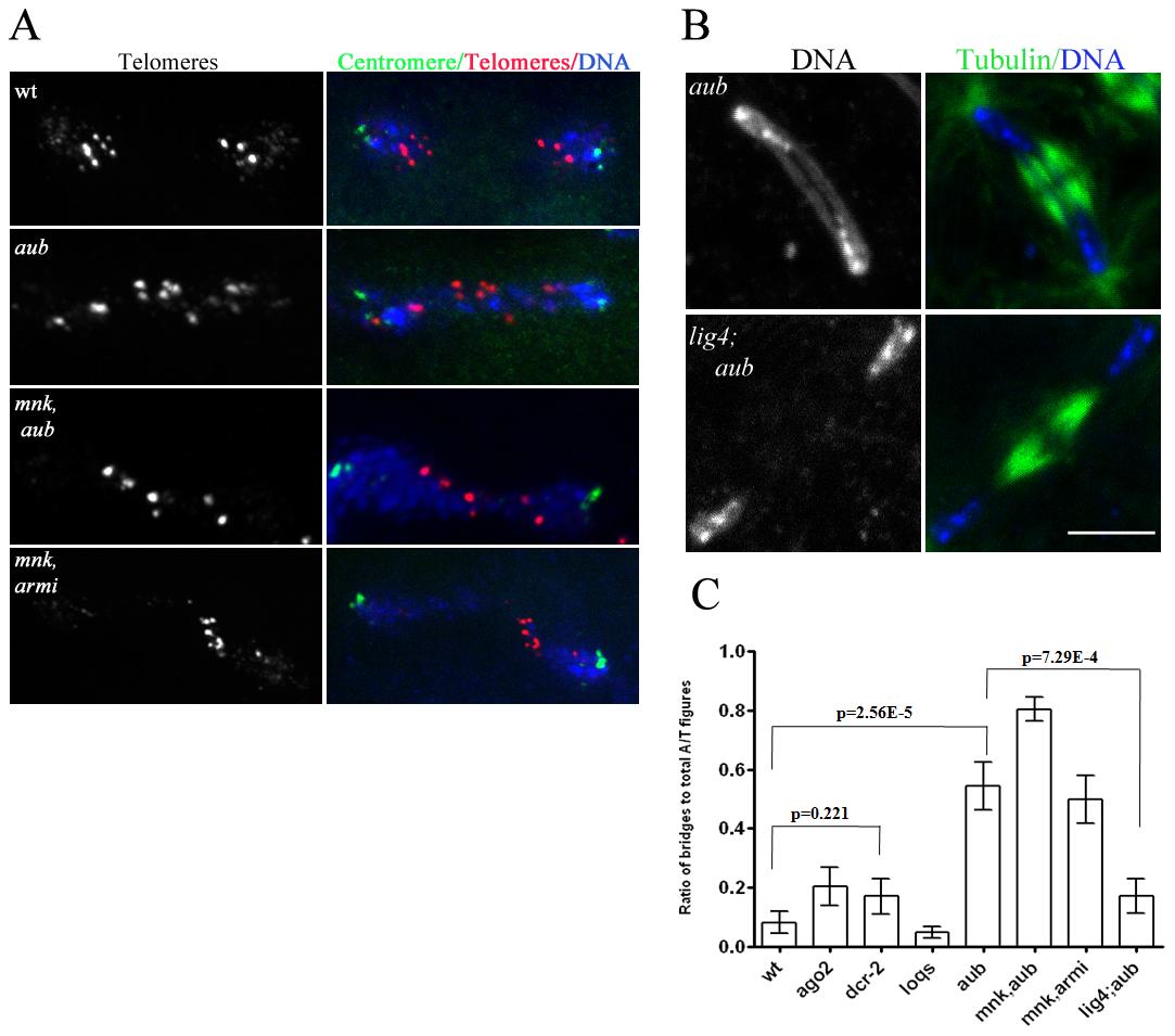 <i>ligIV</i>–dependent telomere fusions in piRNA mutants.