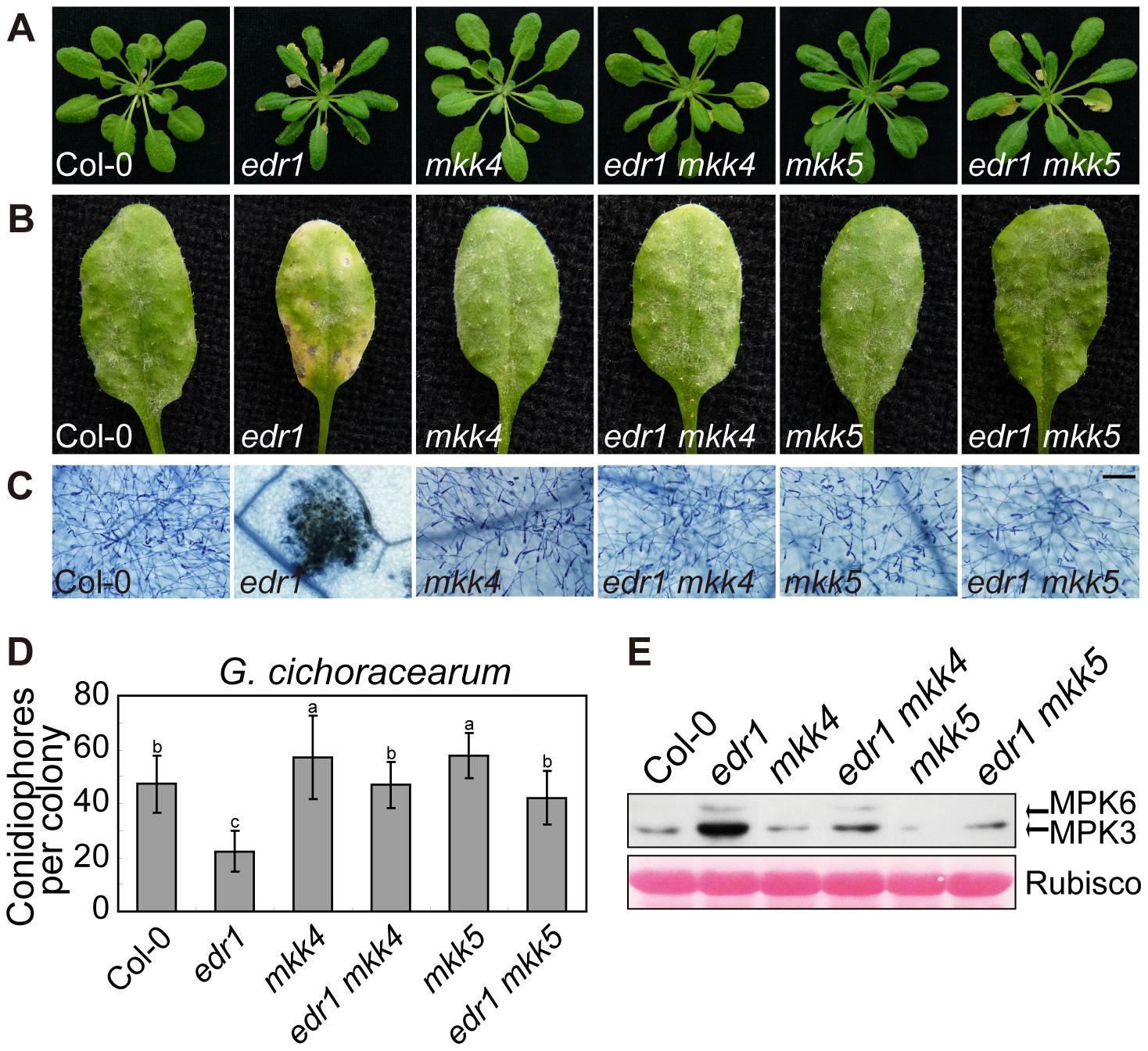 <i>mkk4</i> and <i>mkk5</i> suppress <i>edr1</i>-mediated resistance to powdery mildew and cell death.