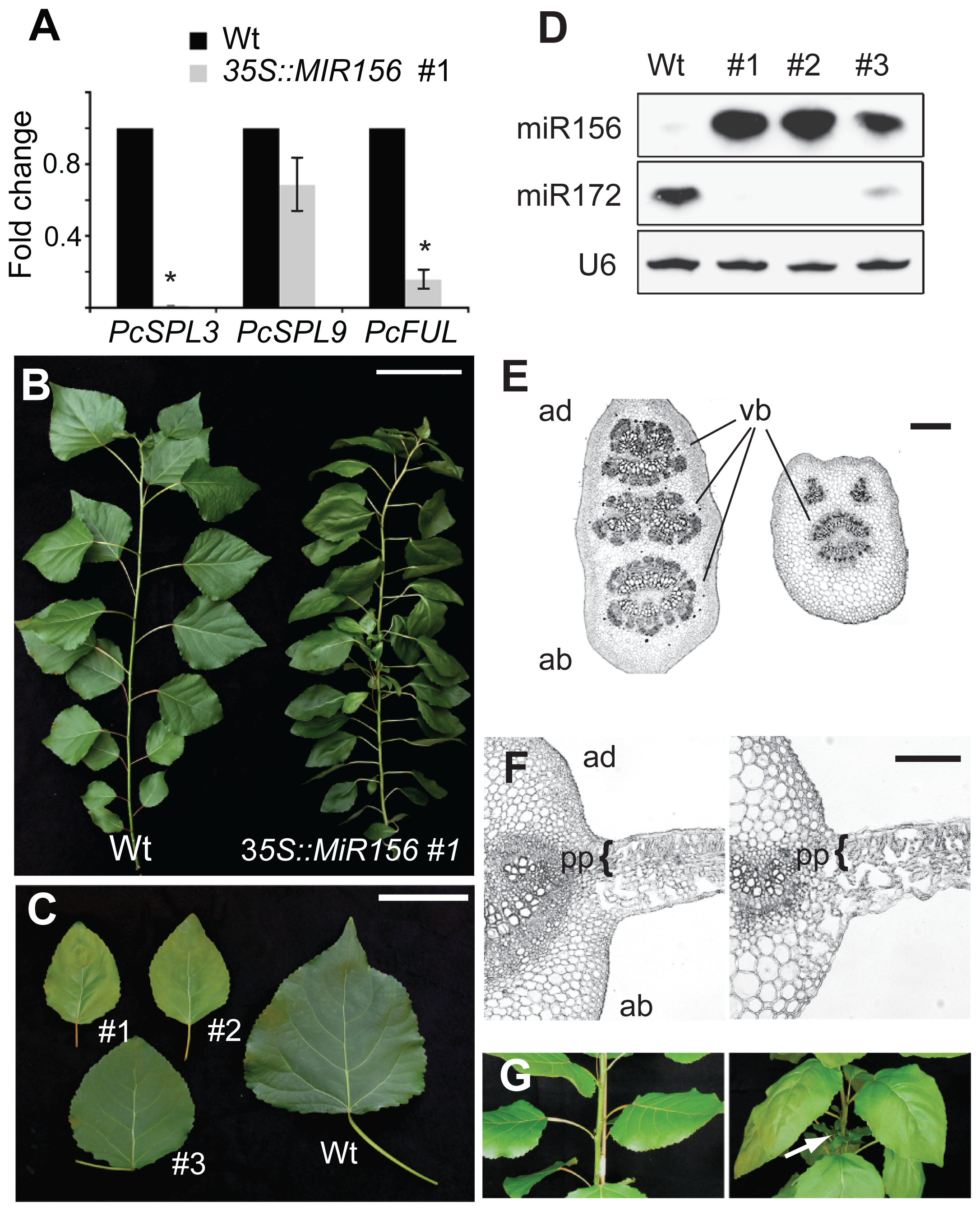 The phenotype of <i>35S::MIR156 P. x canadensis</i> plants.