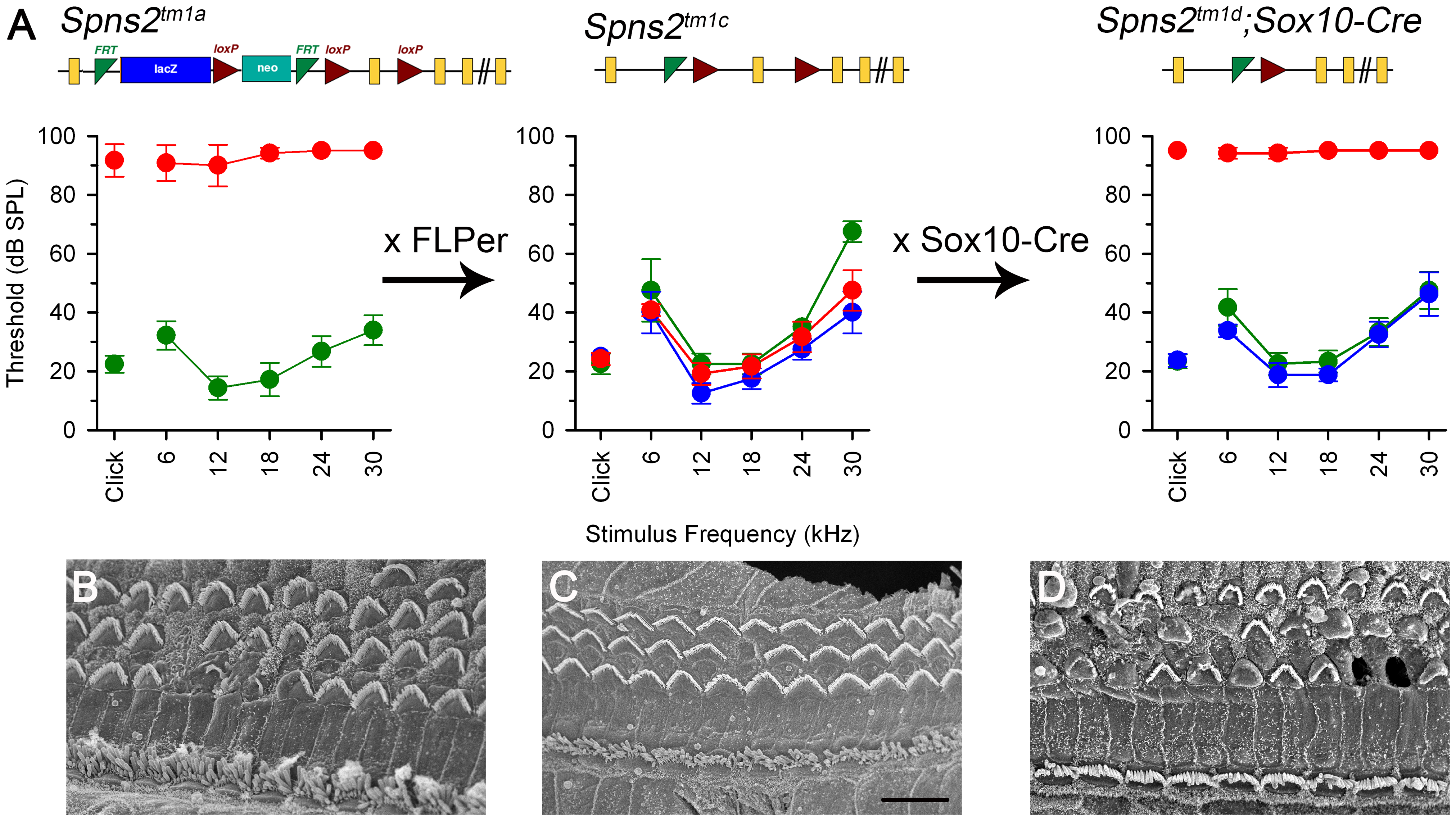 ABR thresholds and SEM assessment suggest a local function of Spns2 in the inner ear.
