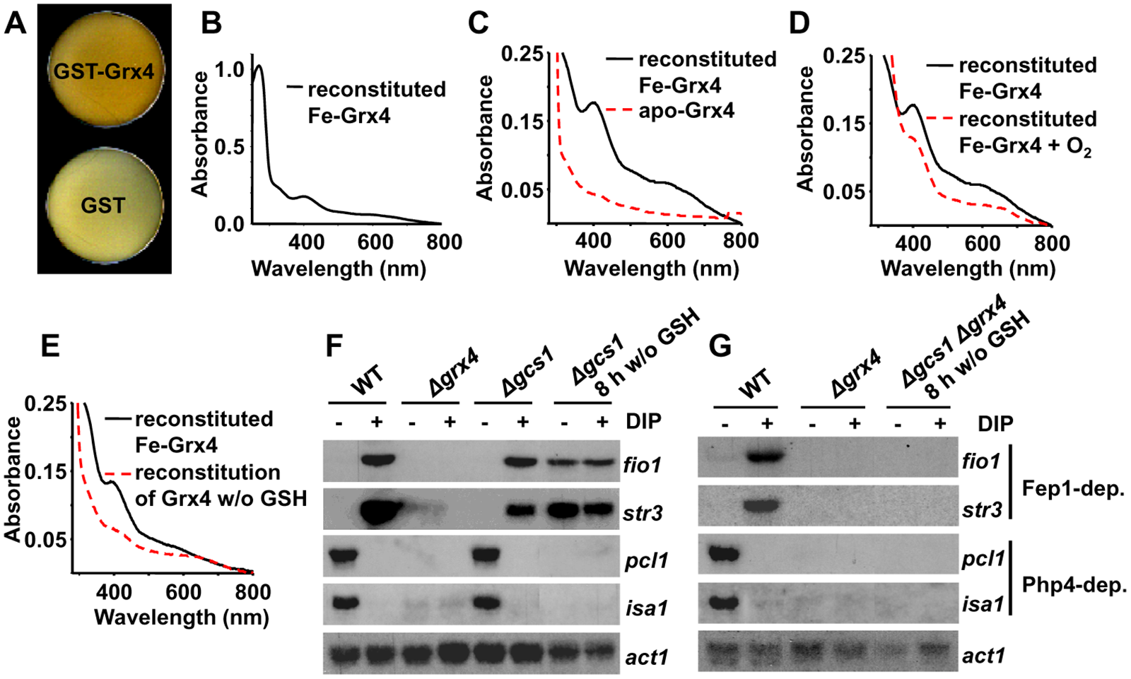 The glutaredoxin Grx4 is a Fe-S cluster-containing protein.