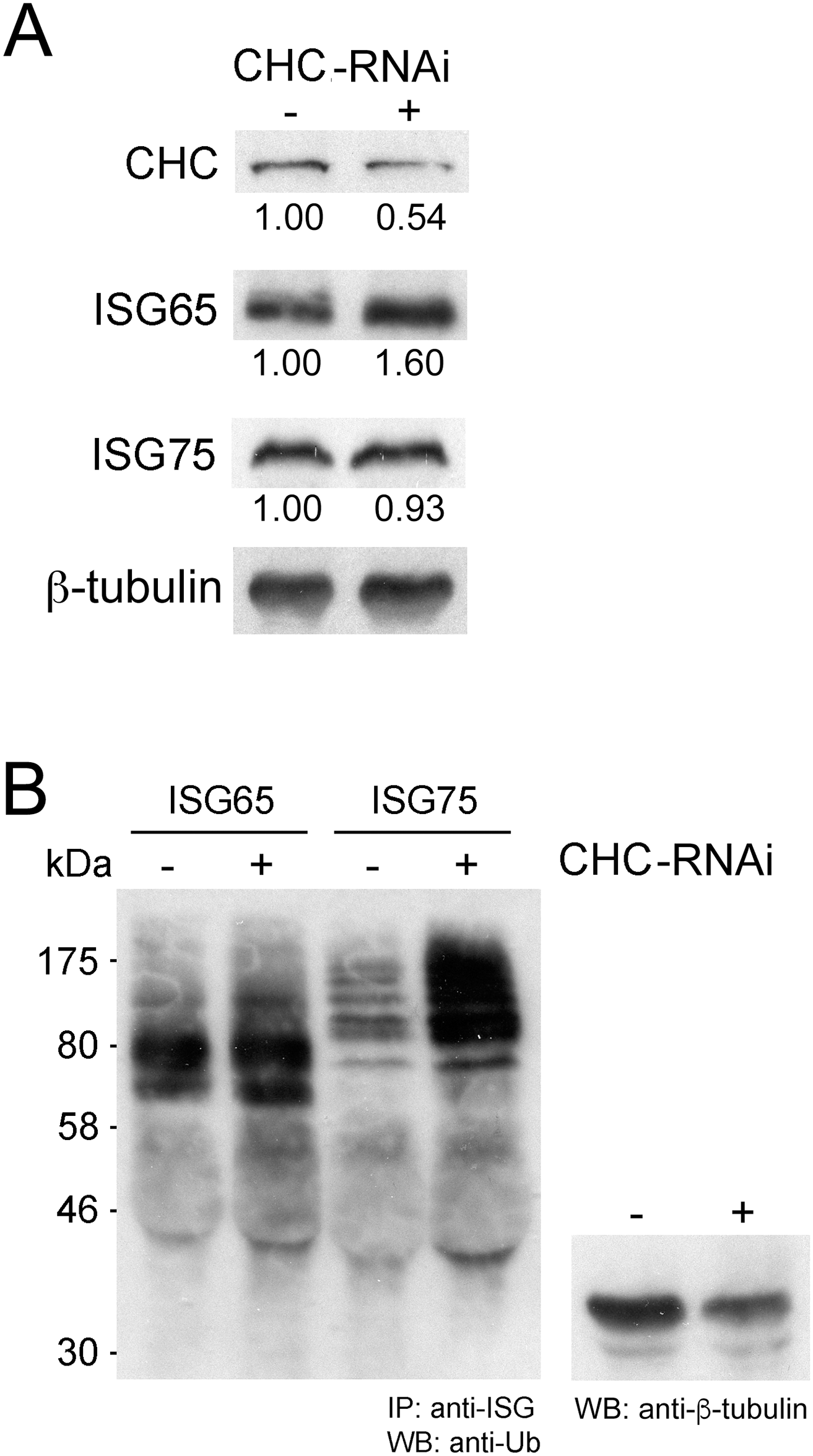 Clathrin knockdown increases ubiquitylation of ISG75.