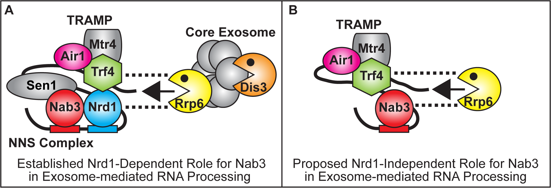 Model for Nrd1-dependent and Nrd1-independent roles of Nab3 in facilitating TRAMP function in the recruitment of the exosome for RNA processing/degradation.
