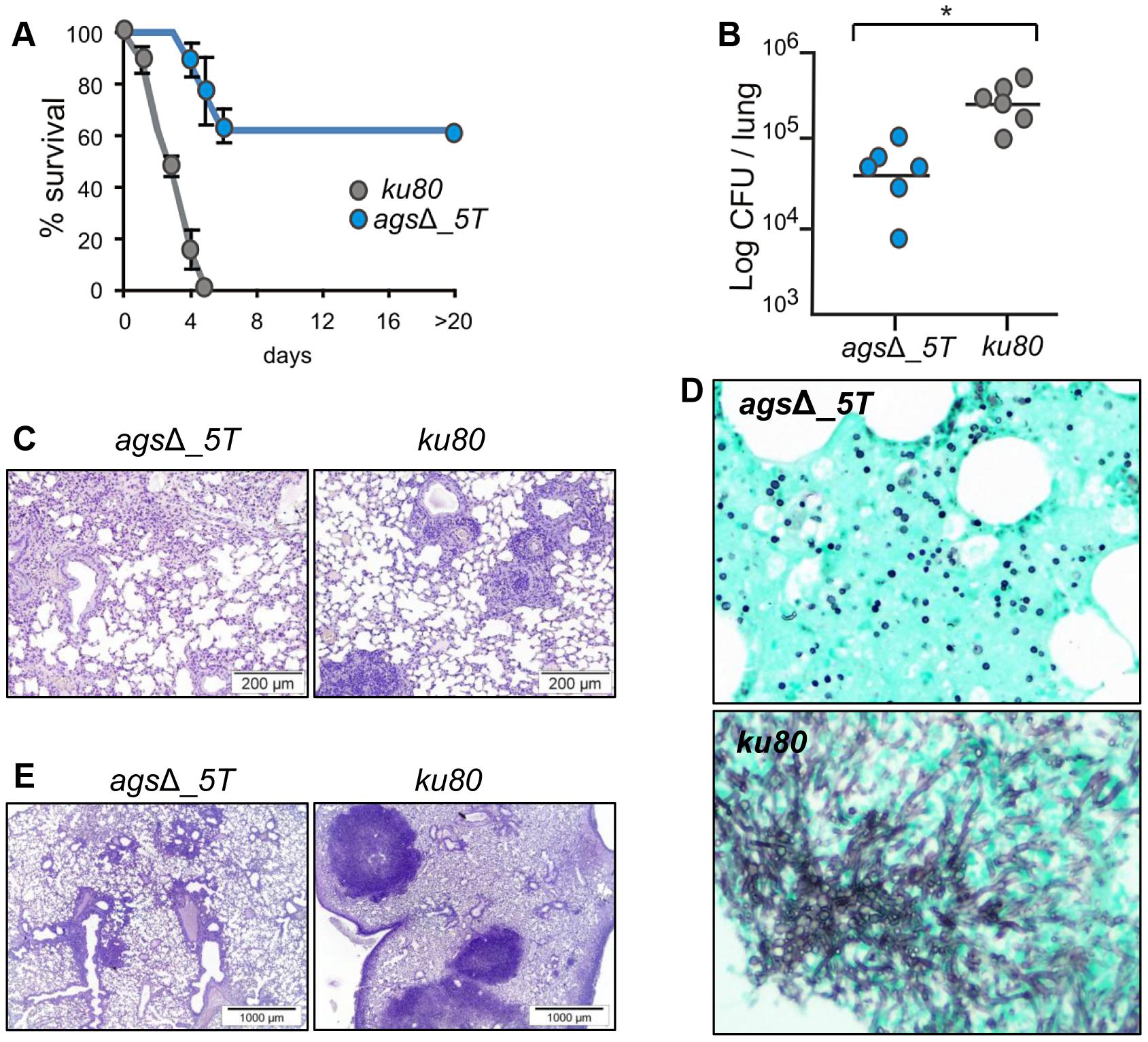 Cyclophosphamide immunosuppressed mice and anti-Ly6G treated neutropenic mice infected with resting conidia of <i>ags</i>Δ_<i>5T</i> and parental (<i>ku80</i>) strains.