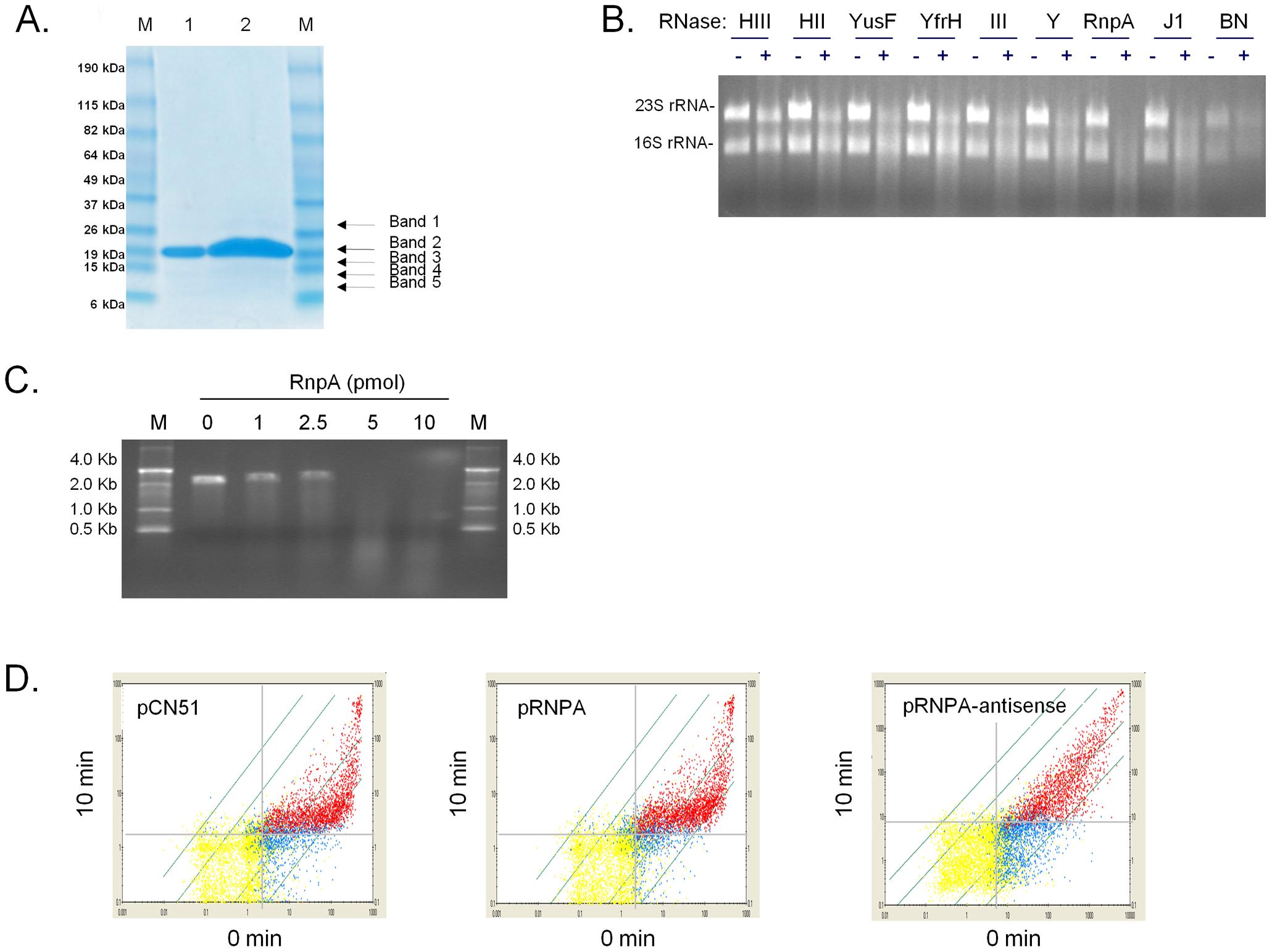 <i>S. aureus</i> RnpA catalyzes rRNA and mRNA digestion.