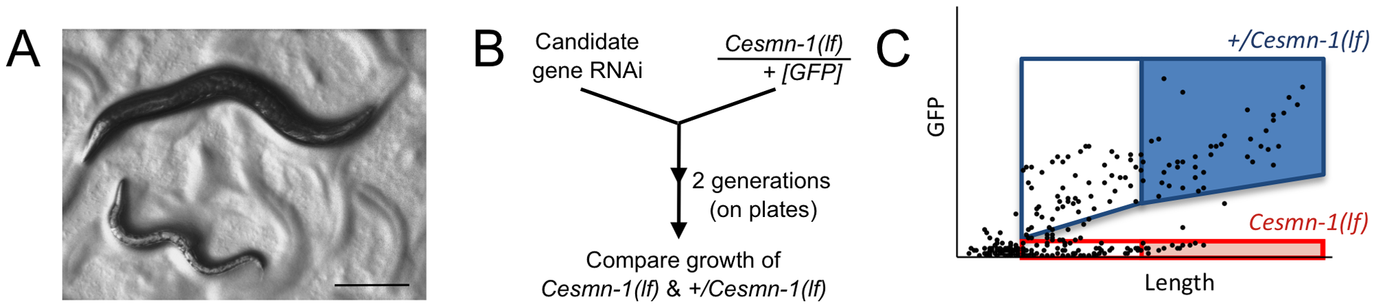 Survival and average length of <i>Cesmn-1(lf)</i> animals is decreased.