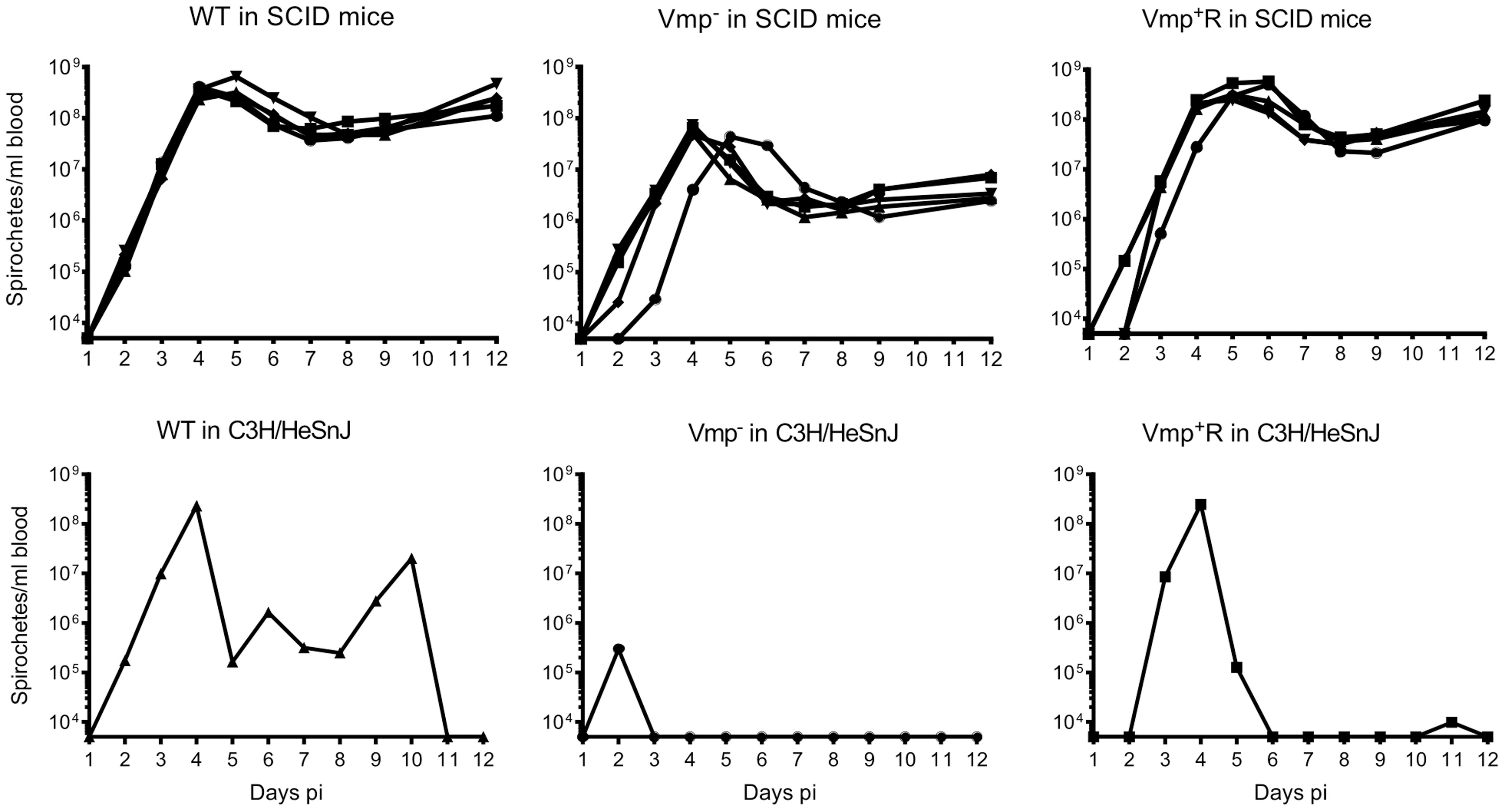 The Vmp<sup>−</sup> mutant <i>B. hermsii</i> persists in the blood of SCID mice.