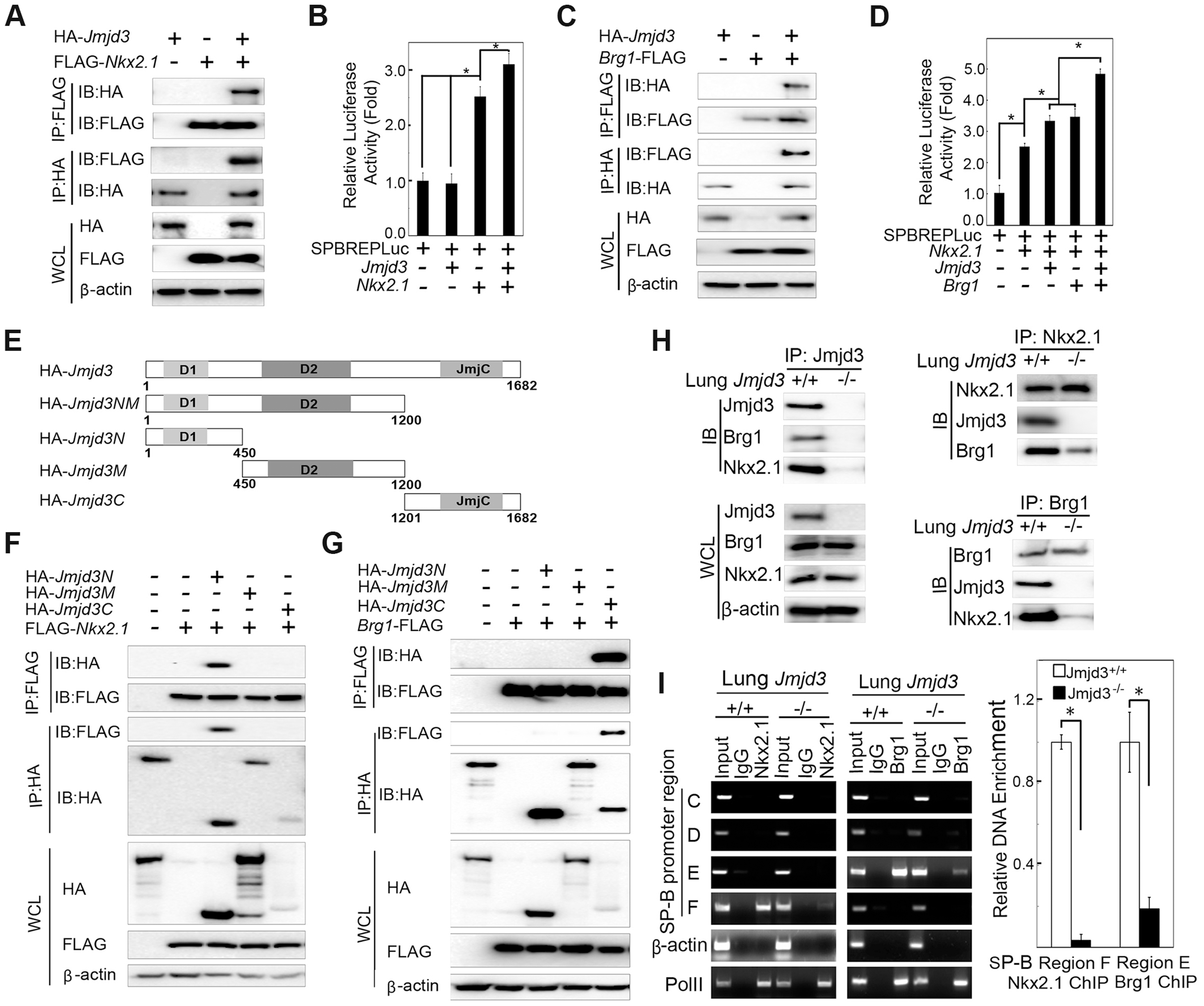 Jmjd3 coregulates <i>SP-B</i> expression with Nkx2.1 and Brg1.