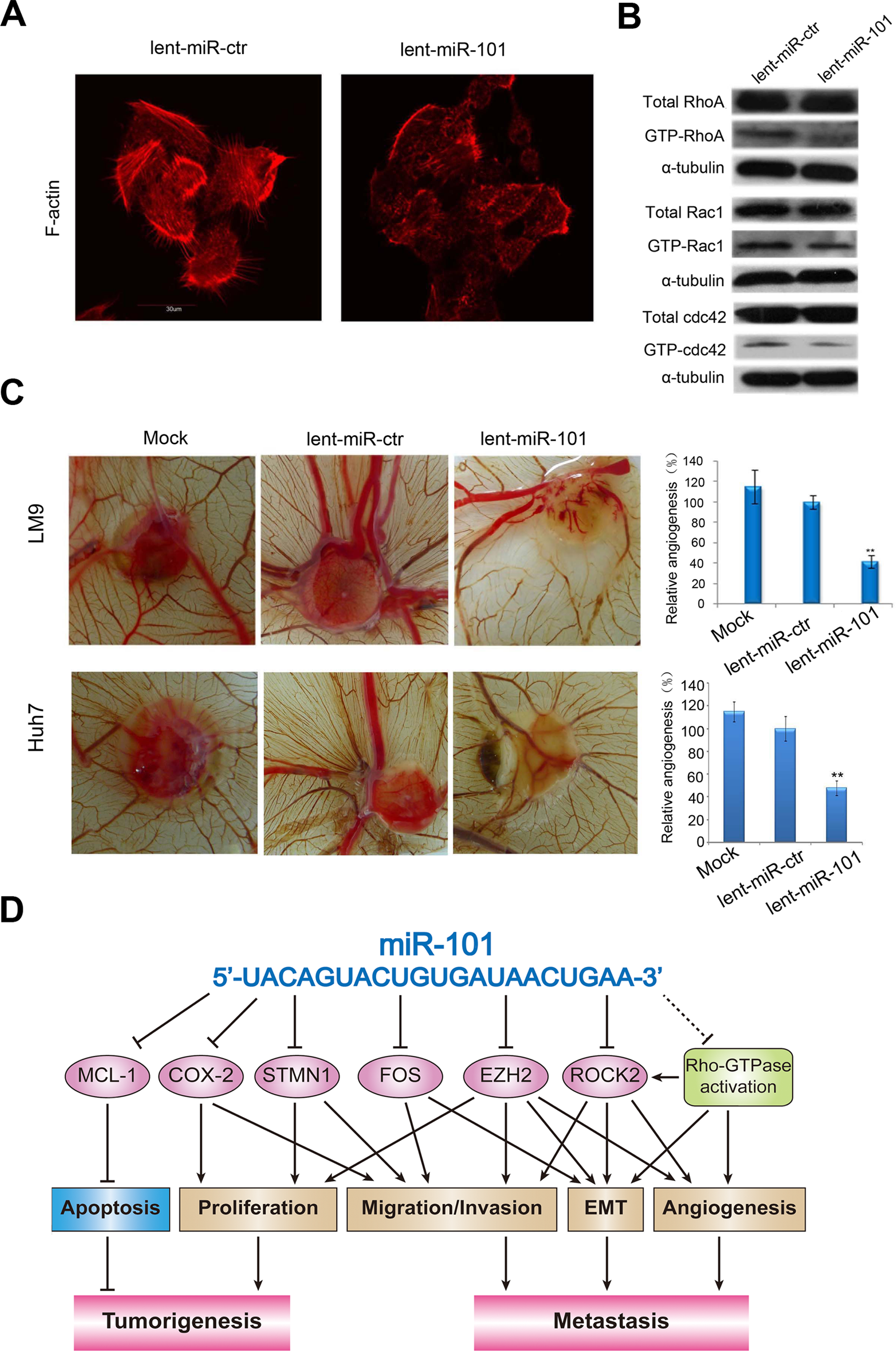 Ectopic overexpression of miR-101 inhibits stress fiber formation <i>in vitro</i> and angiogenesis in a CAM model, and a proposed regulatory loop of miR-101 in HCC tumorigenesis and metastasis.
