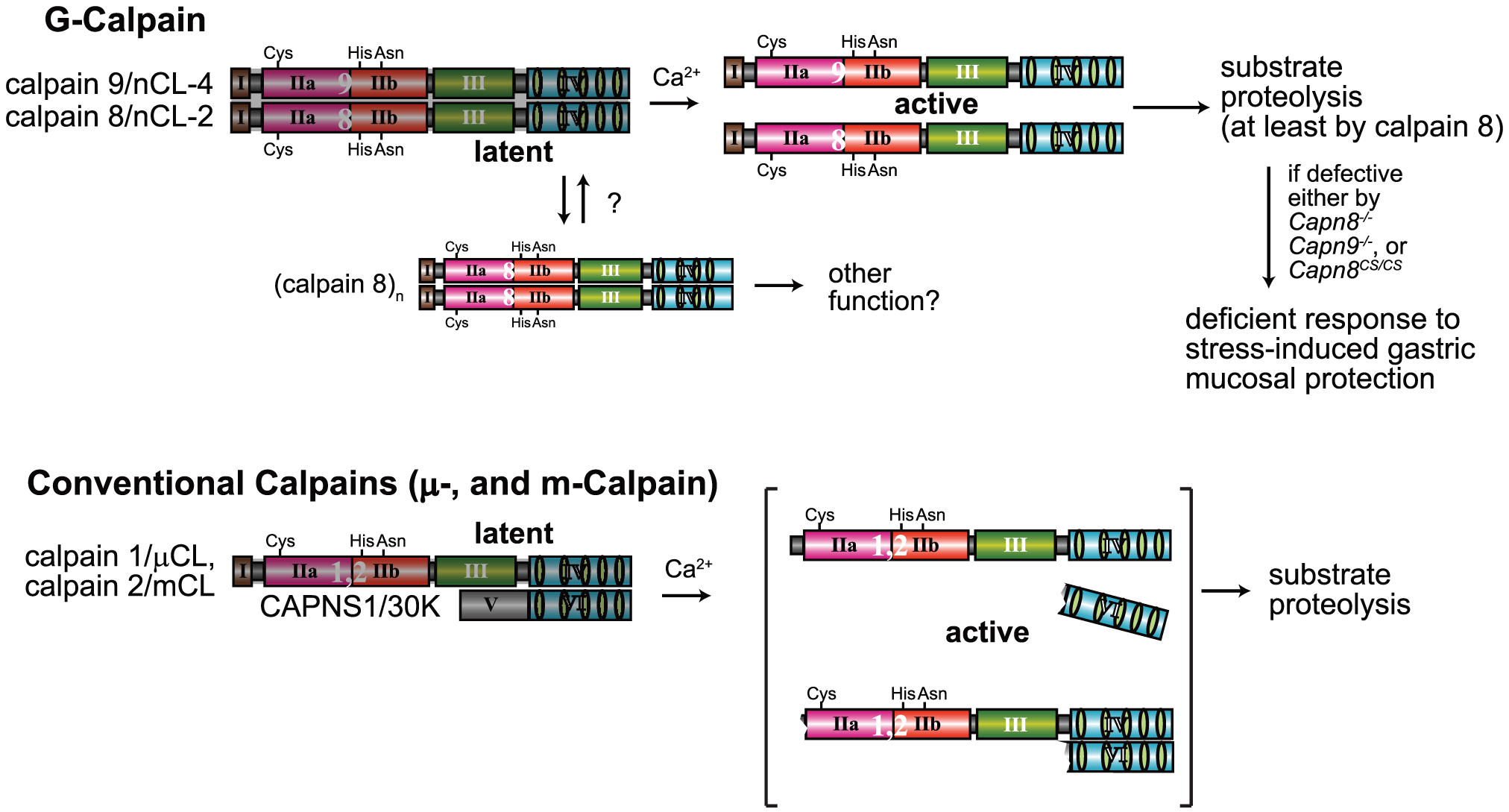 Hypothetical scheme for calpain activation in the stomach pit cells.