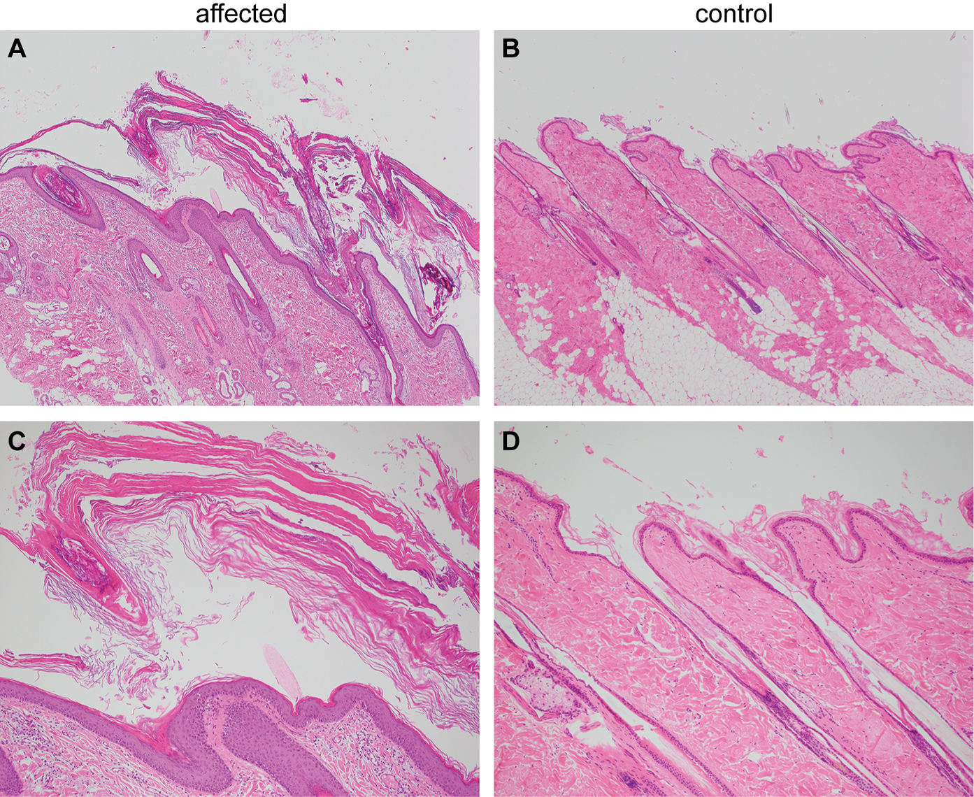 Histopathological findings in skin of the ichthyotic dog and a control dog.
