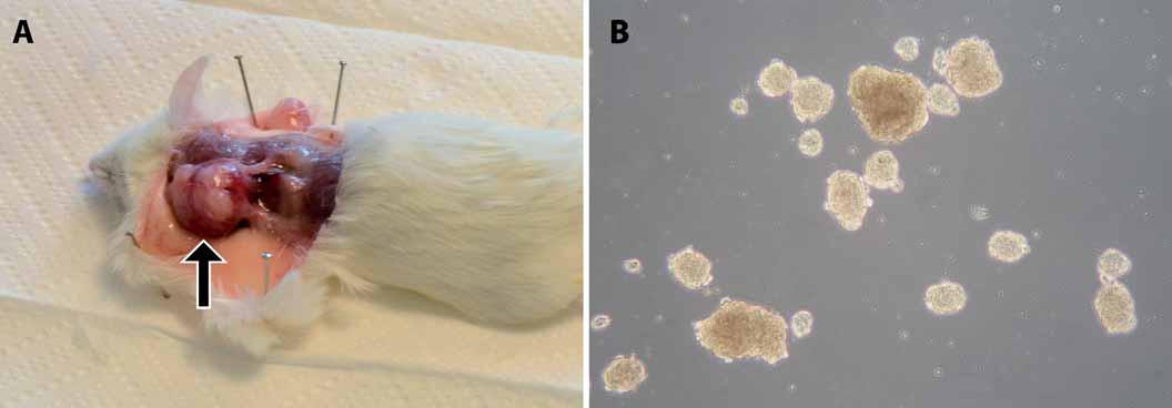 Ukázky našich výsledků funkčních testů CSCs u rabdomyosarkomu a osteosarkomu. A. Xenograftový nádor v podkoží myši kmene NOD/SCID/IL2Rγ<sub>null</sub> po injikaci rabdomyosarkomových buněk. Šipka označuje lokalizaci nádoru. B. Sarkosféry vytvořené z osteosarkomové linie OSA-02.