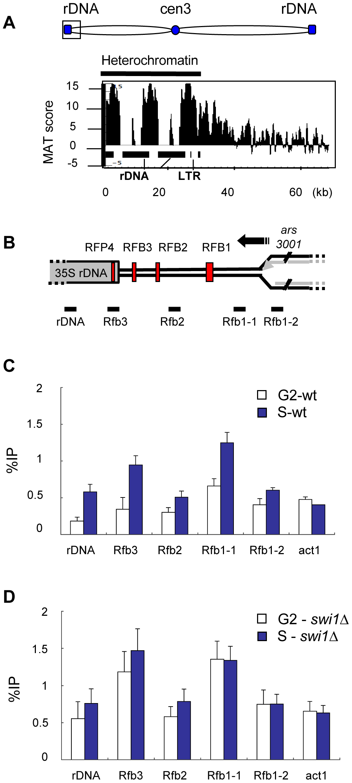 γH2A is highly enriched in the rDNA repeats during S phase.