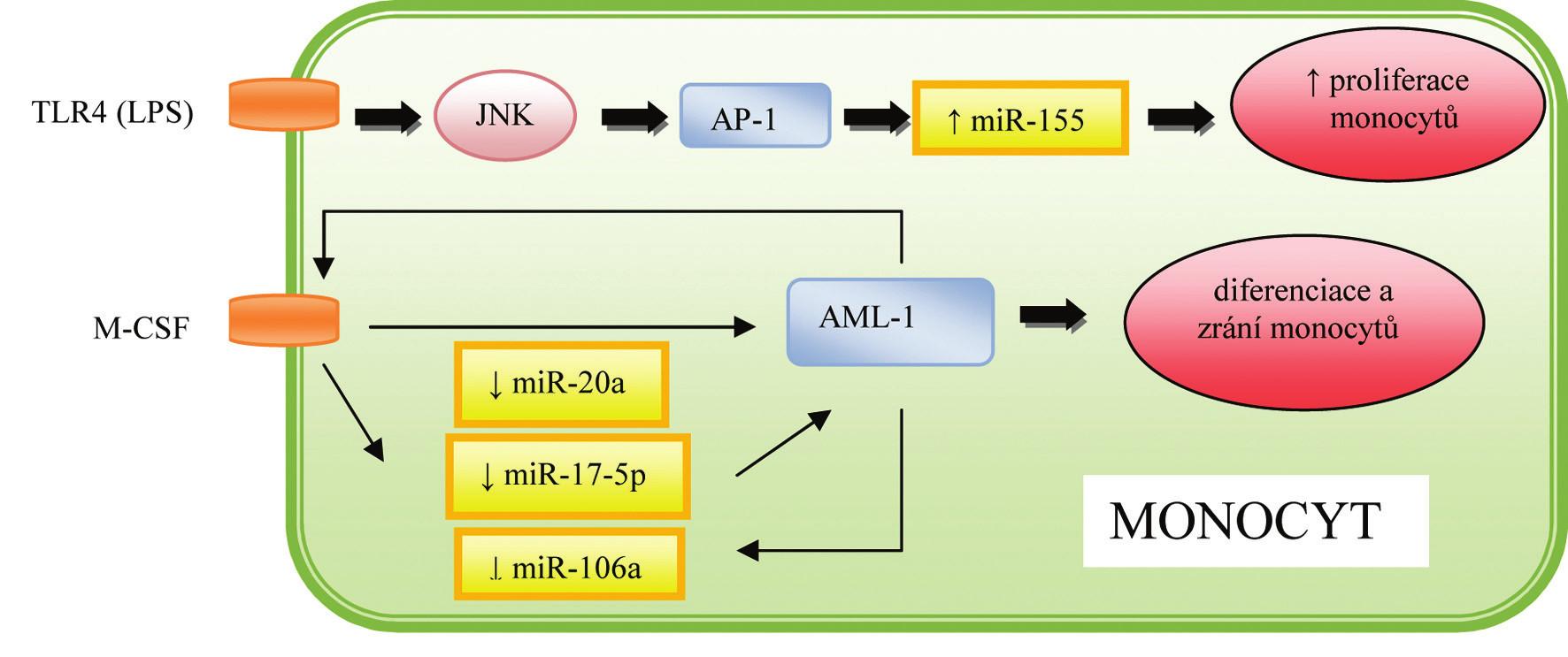 Role miRNA v regulaci hematopoézy a imunitní odpovědi monocytů